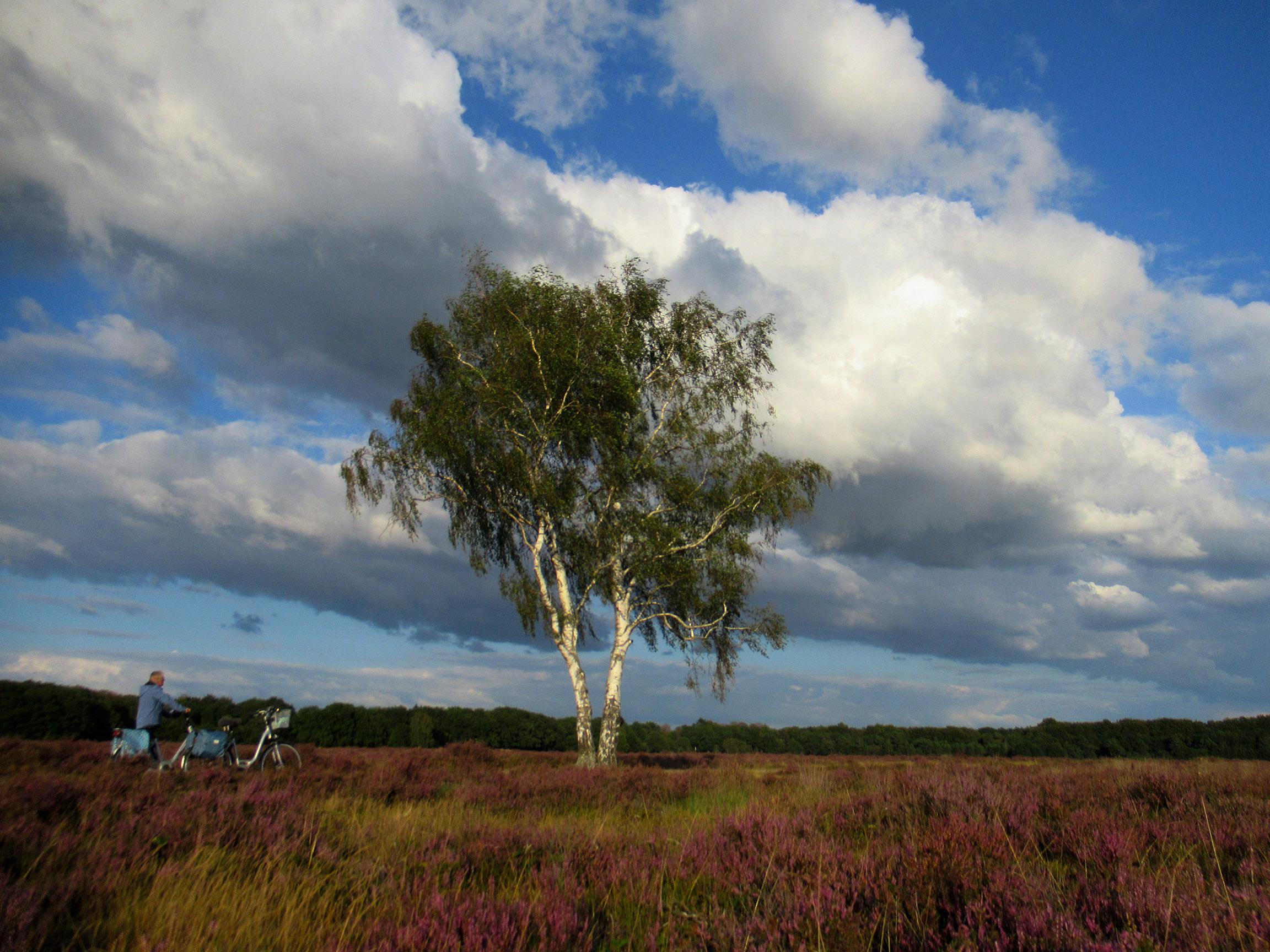 Terwijl Fransien staat te genieten van het schitterende uitzicht, prijkt daar die eenzame berk in de bloeiende heide. Vooral de prachtige wolkenlucht maken het geheel compleet! - Foto: ©Louis Fraanje