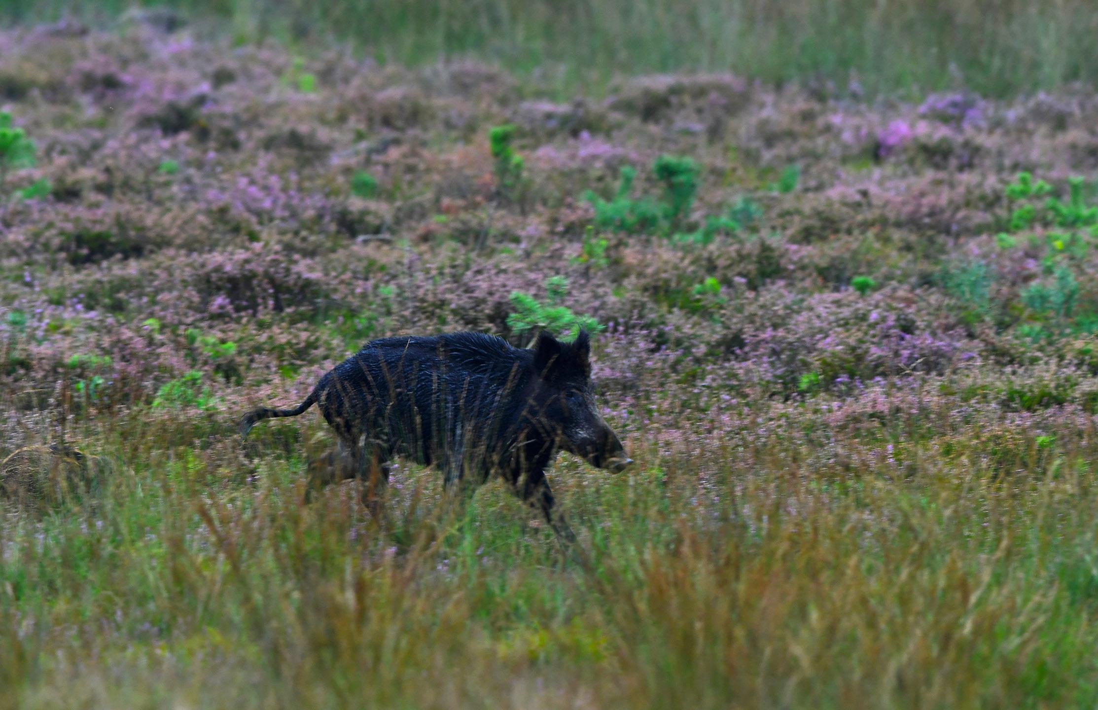 Er kwam ook nog een zwijn op volle snelheid - voorbij stuiven - Foto: ©Louis Fraanje