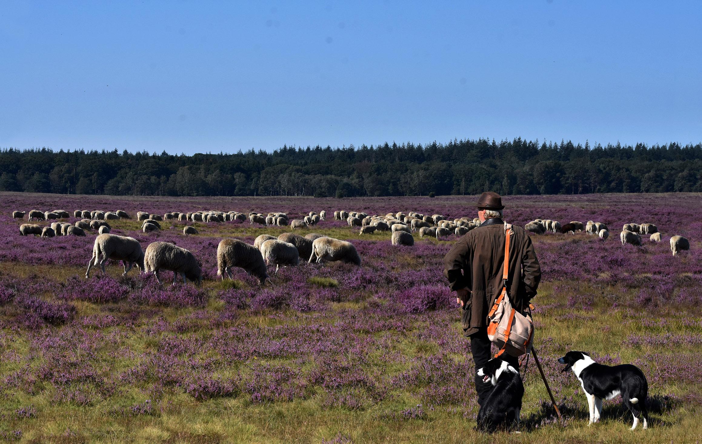 Dit is toch een prachtig beeld van de schaapherder met zijn kudde op de heide - Foto: ©Louis Fraanje
