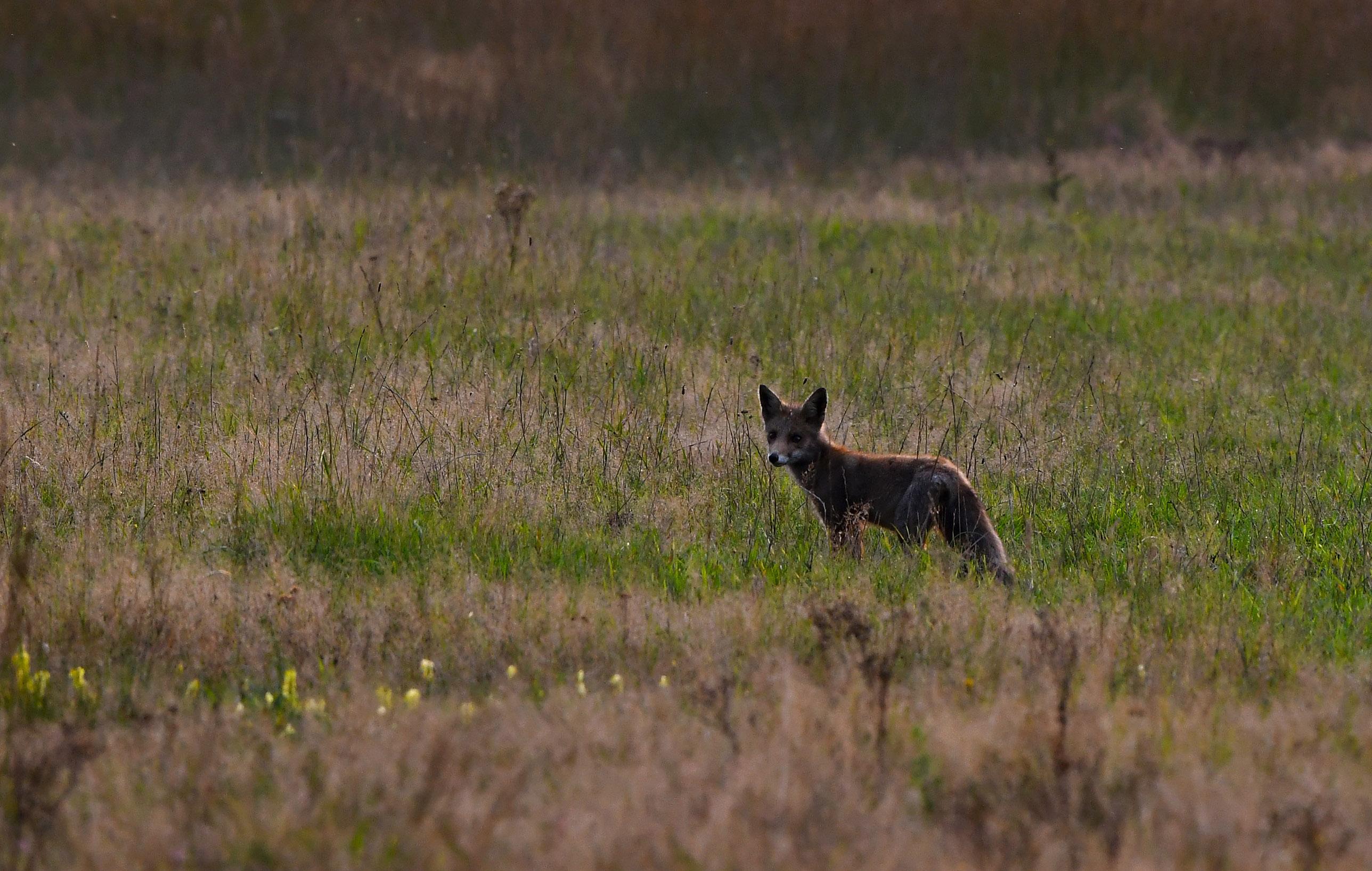 Een jonge vos liep onverstoord in het hoge gras te struinen Foto: ©Louis Fraanje
