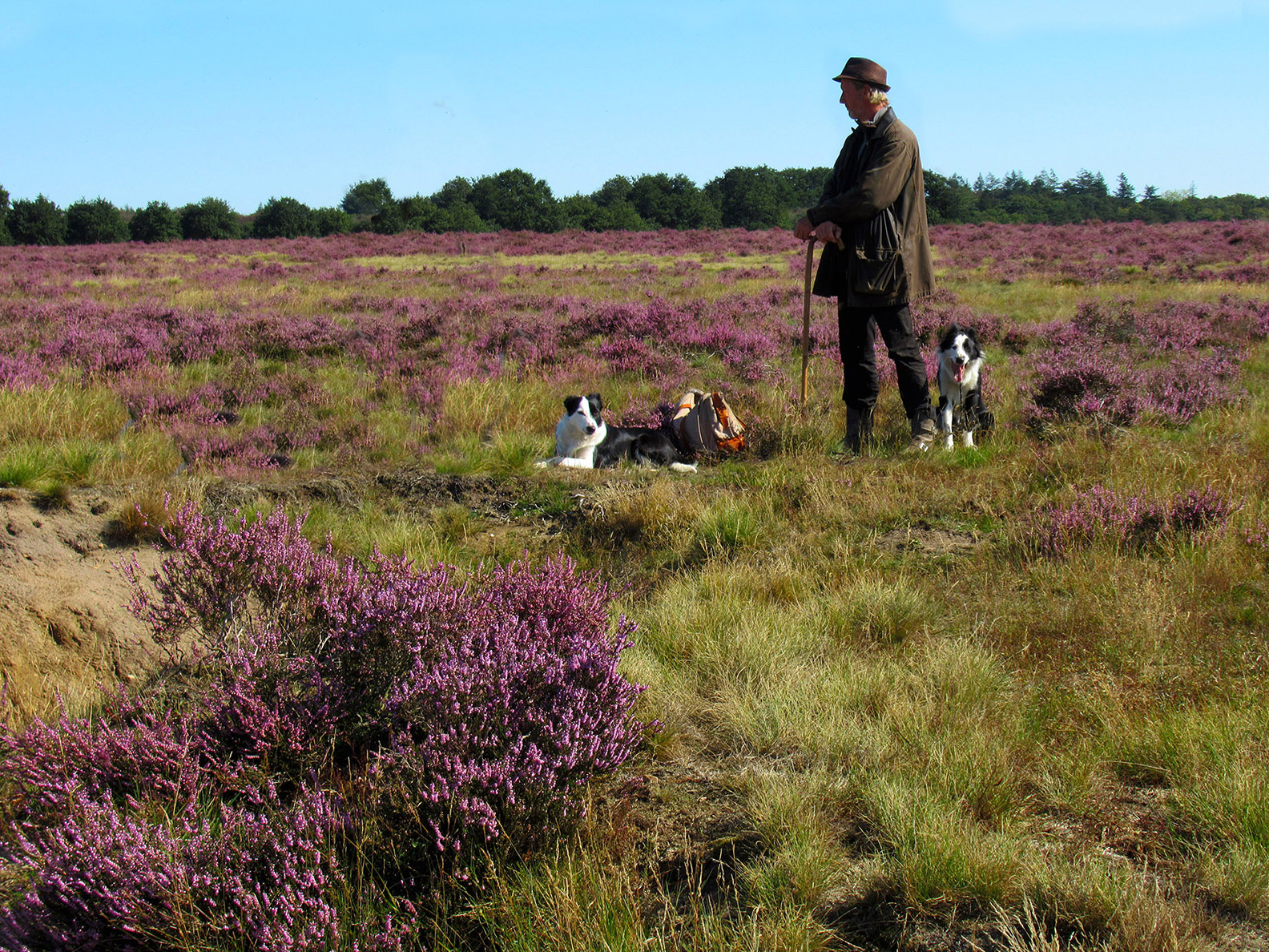 Van een afstand staat Henk de schaapherder met zijn twee honden alles rustig te observeren - Foto: ©Fransien Fraanje