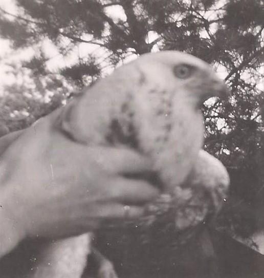 De witte buizerd bij Henk van Schuppen kwam in het grote hok op de Dikkenberg om aan te sterken - Foto's: Archief Henk Stel