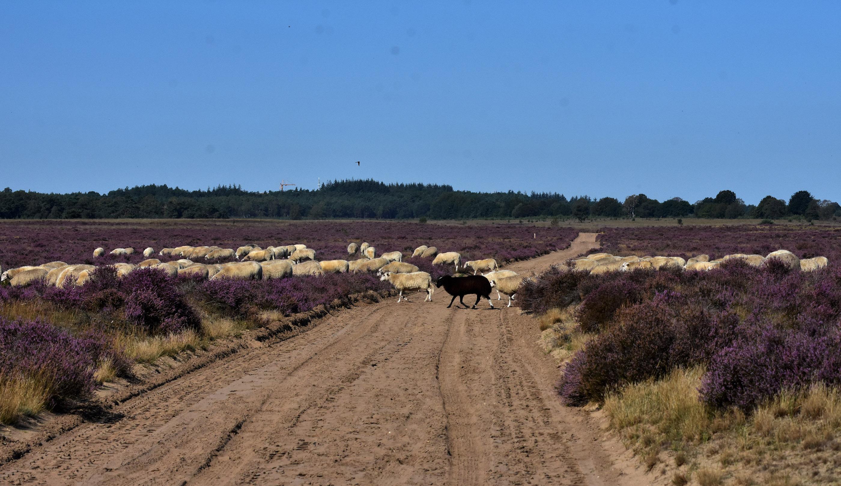 Kijk... er loopt ook nog een zwart schaap tussen de anderen - Foto: ©Louis Fraanje