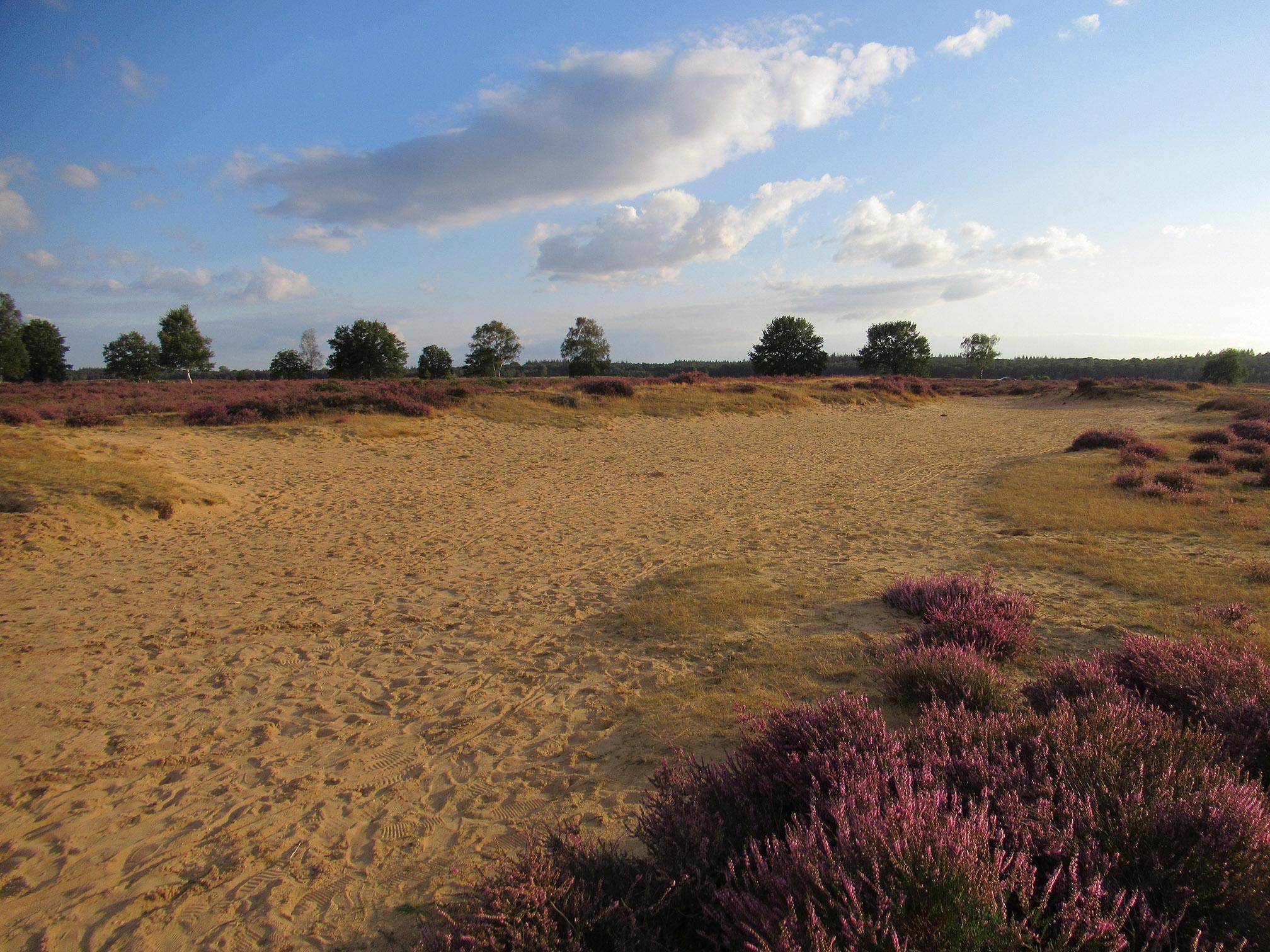 En dan zien we een uitgesleten zandbaan of schapendrift, wie zal het zeggen...? Maar het is wel een mooie onderbreking in de bloeiende heide - Foto: ©Fransien Fraanje