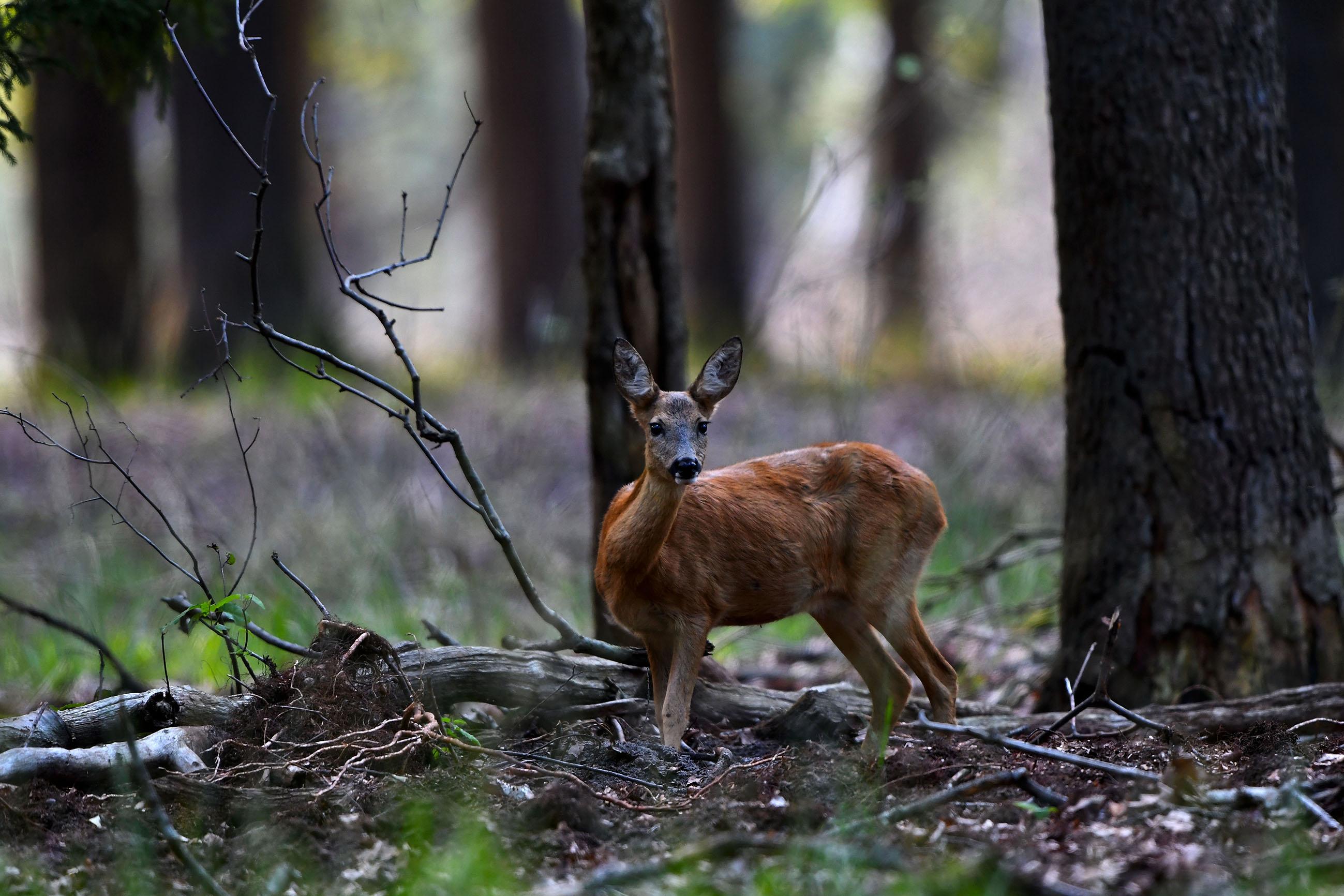 In het bos staat een reegeit in onze richting te kijken – Foto: ©Louis Fraanje
