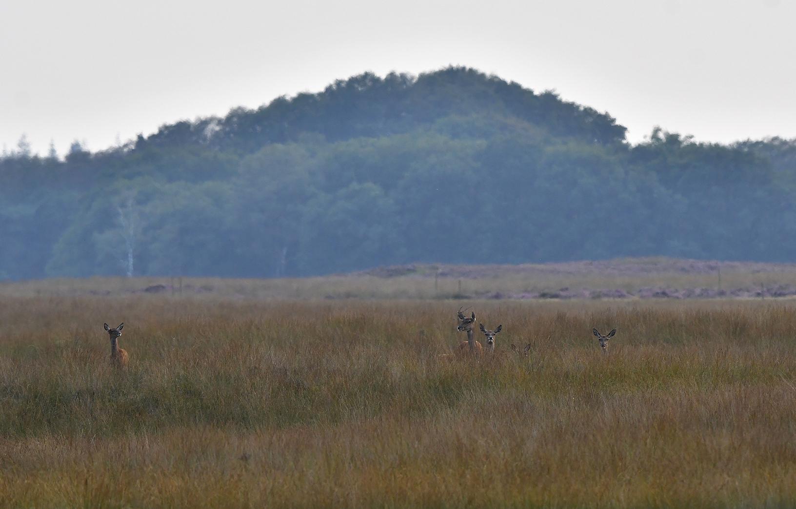 Van links komen enkele hindes en kalveren, heel langzaam onze richting opwandelen - Foto: ©Louis Fraanje