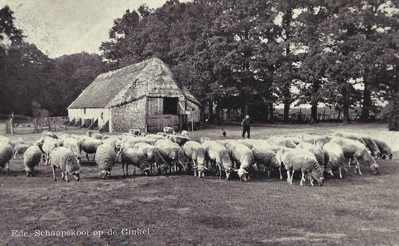 De oude schaapskooi bij Ede op de Ginkelse Heide - Foto: Ansichtkaart uit 1954.