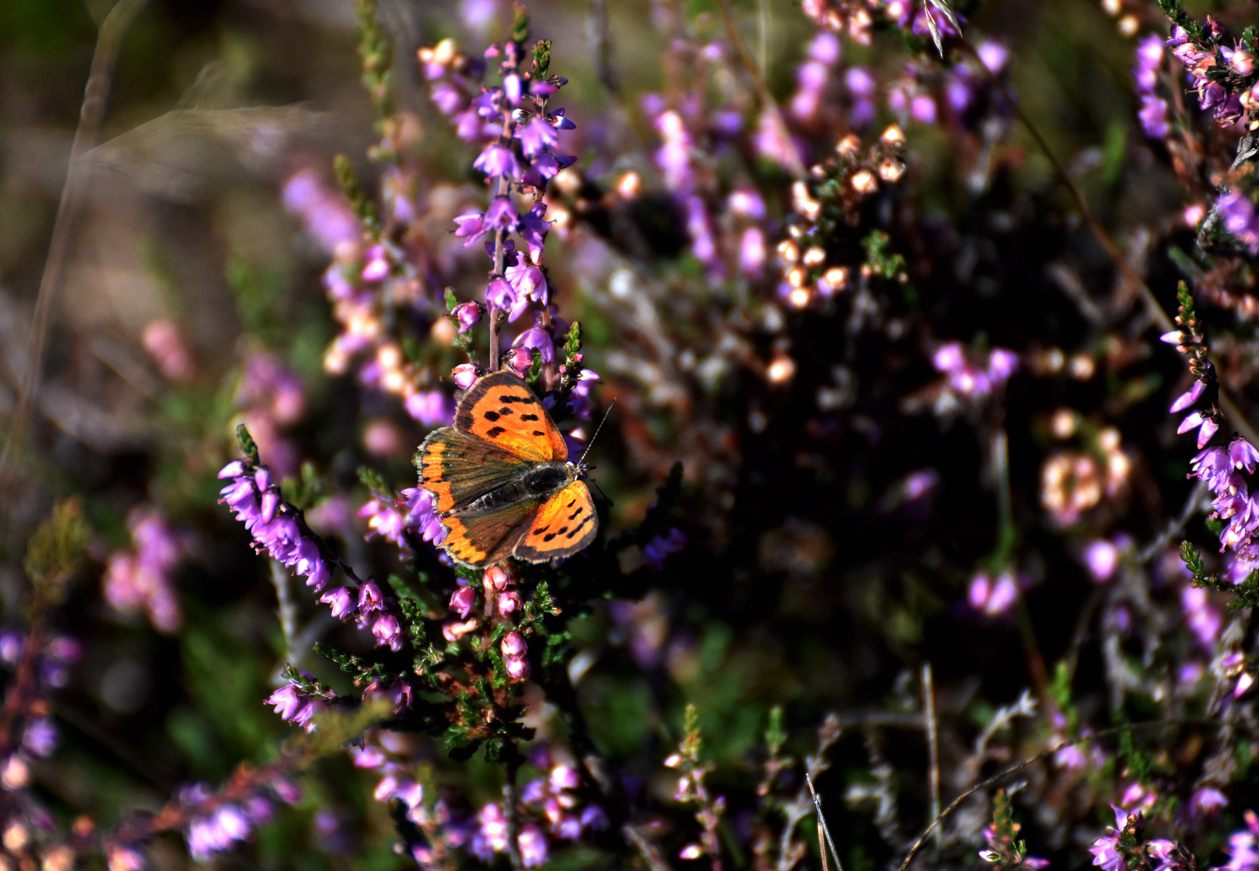 De Kleine vuurvlinder liet zich ook in grote getale zien in de bloeiende heide – Foto: ©Louis Fraanje