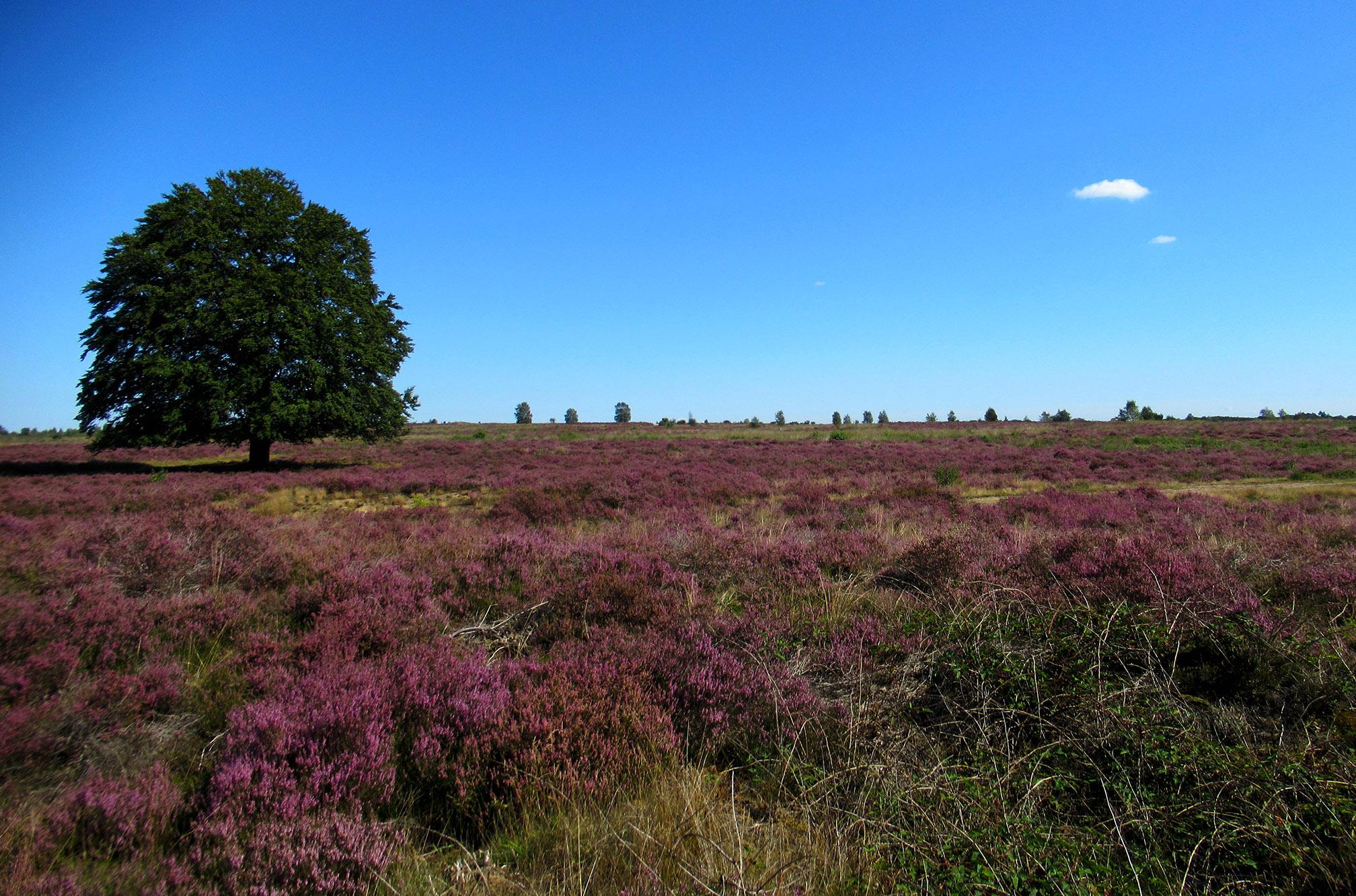 Prachtige oude solitaire beuk op de Edese Heide dichtbij de Langenberg – Foto: ©Louis Fraanje