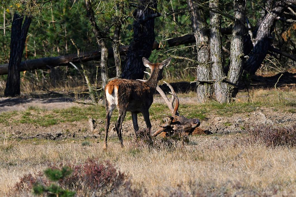 Een hertenkalf komt eens kijken hoe het grote hert een modderbad neemt – Foto: ©Louis Fraanje