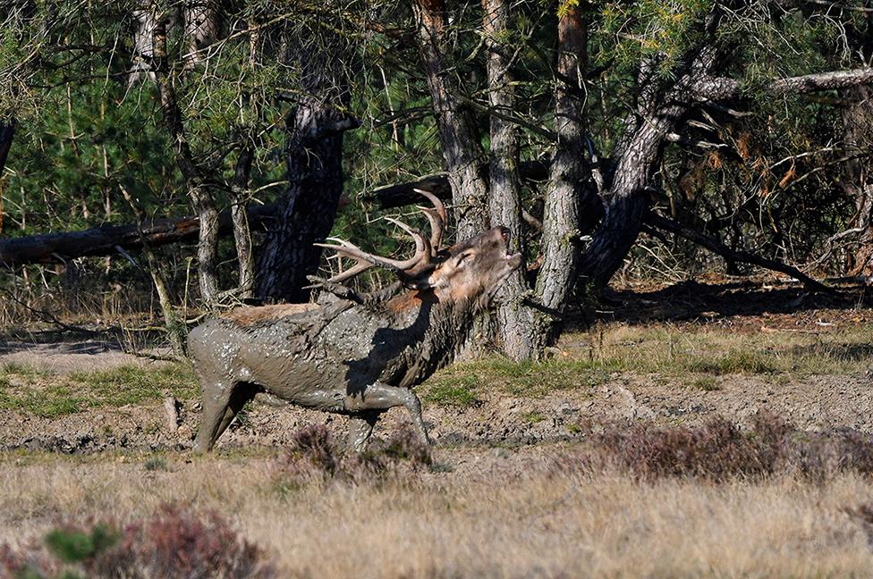 Het duurt dan ook niet lang of het hert komt omhoog en laat zijn bronstroep galmen – Foto: ©Louis Fraanje