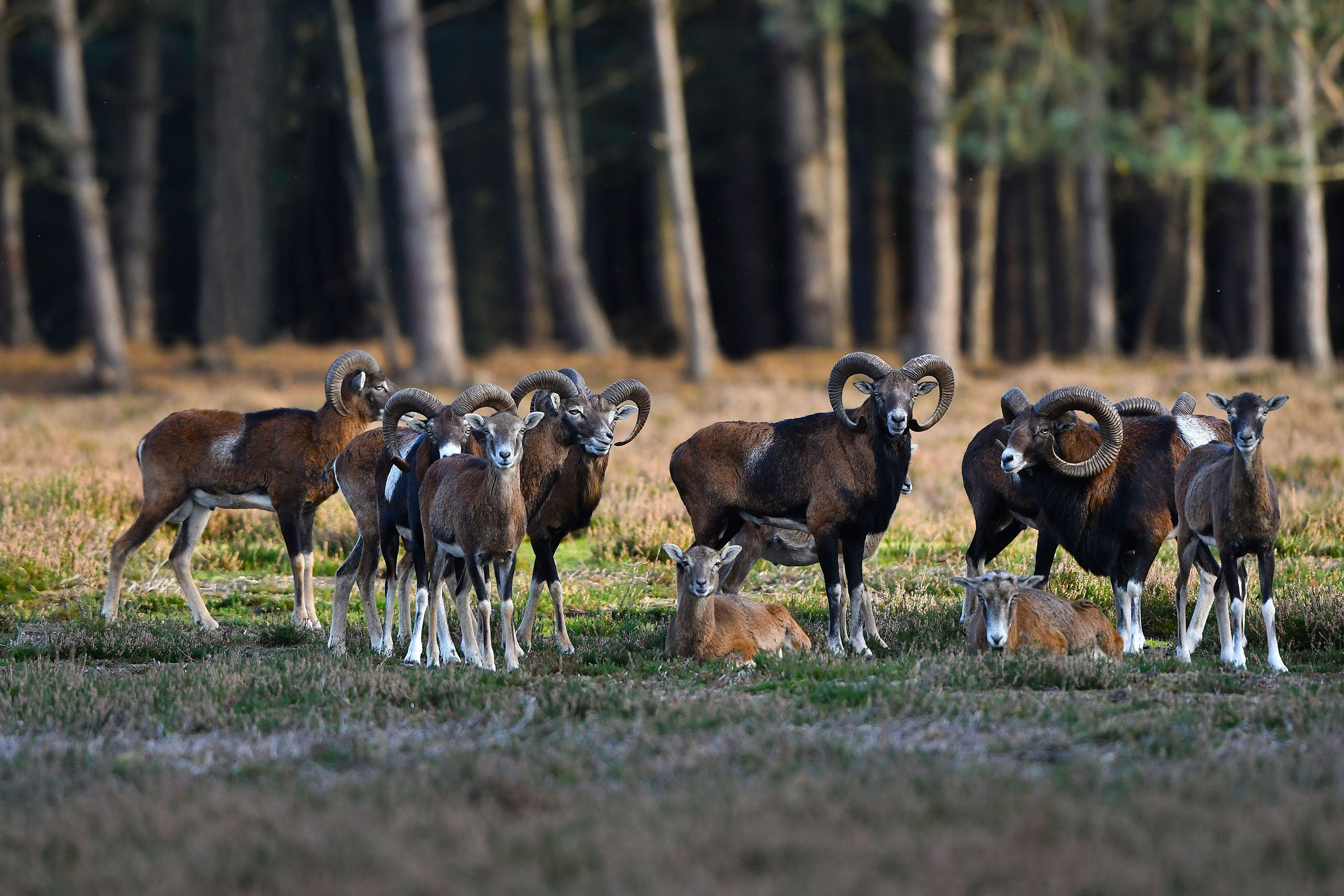 Eeen aantal volwassen moeflonrammen van verschillende leeftijden en enkele ooien – Foto: ©Louis Fraanje
