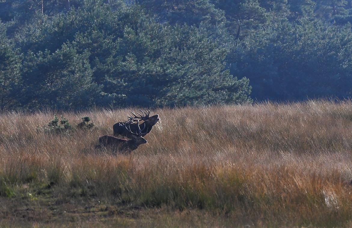 Het bekende samen naast elkaar oplopen, ter voorbereiding van het bronstgevecht - Foto: ©Louis Fraanje