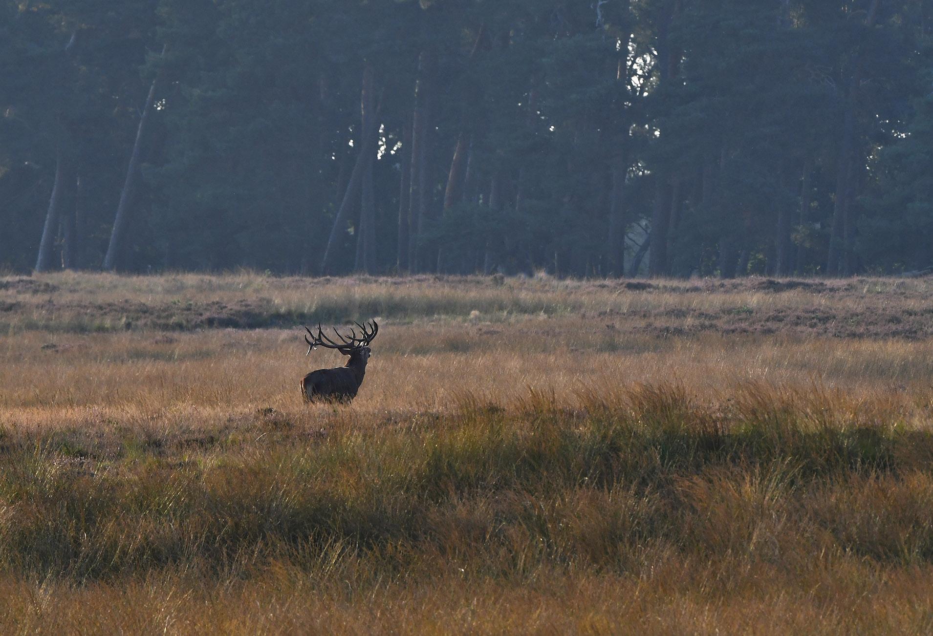 Uiteindelijk stak hij dwars over het Reemsterveld en verdween in het bos aan de overkant – Foto: ©Louis Fraanje
