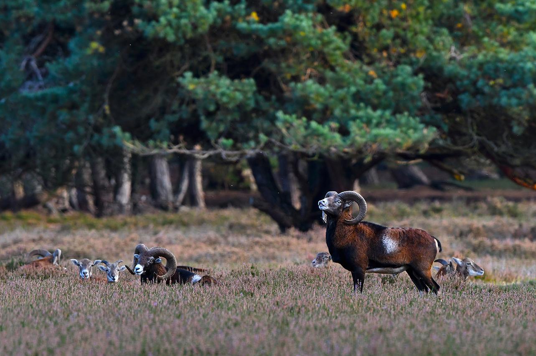 Blijkbaar hangt de geur van de ooien over het hele veld – Foto: ©Louis Fraanje