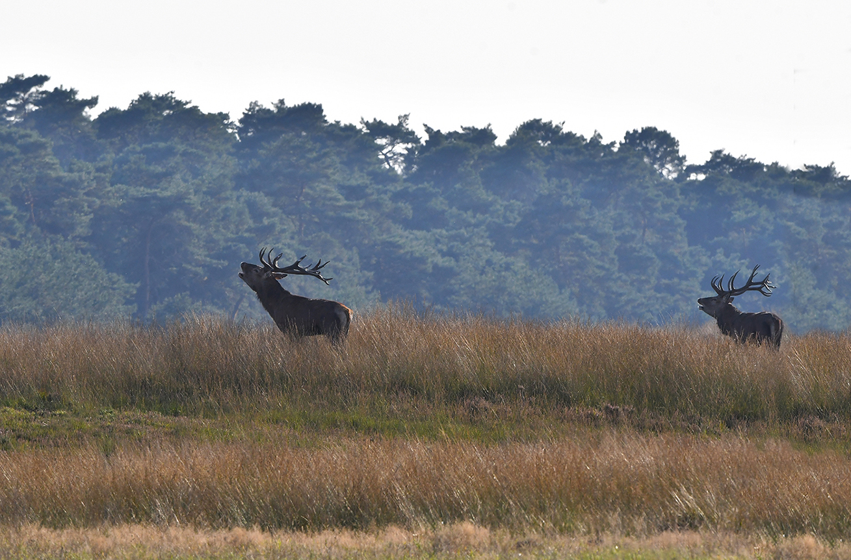 En zo staan ze samen bovenop de heuvel te burlen - Foto: ©Louis Fraanje