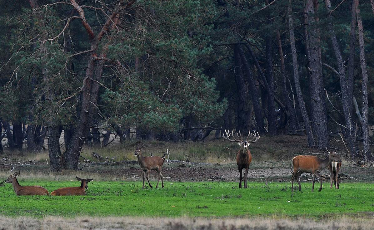 Als de hinde aan zijn pogingen ontsnapt, weerklinkt zijn bronstroep over het veld - Foto: ©Louis Fraanje