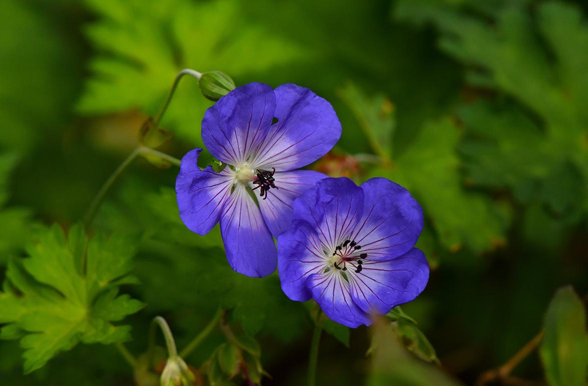 In de berm bij de toegangsweg bloeiden nog prachtige blauwe geraniums 'Rozanne' , Ooievaarsbek - Foto: ©Louis Fraanje