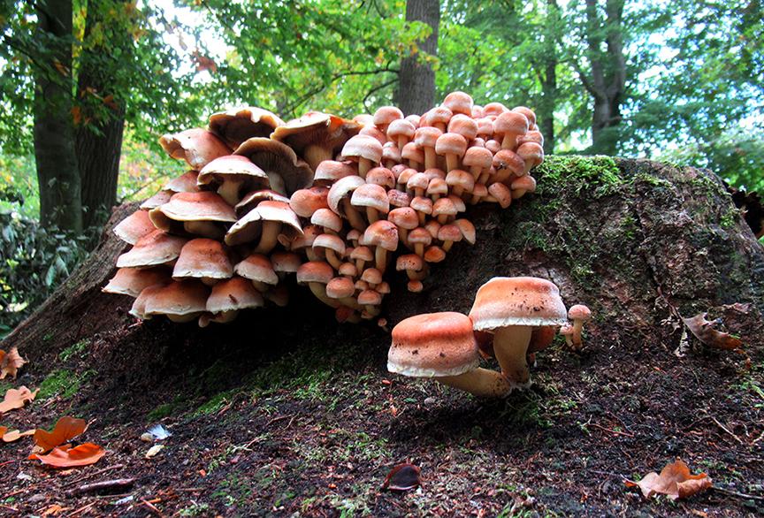 Hier allemaal zwavelkopjes groot en klein op een oude boomstronk – Foto: ©Fransien Fraanje