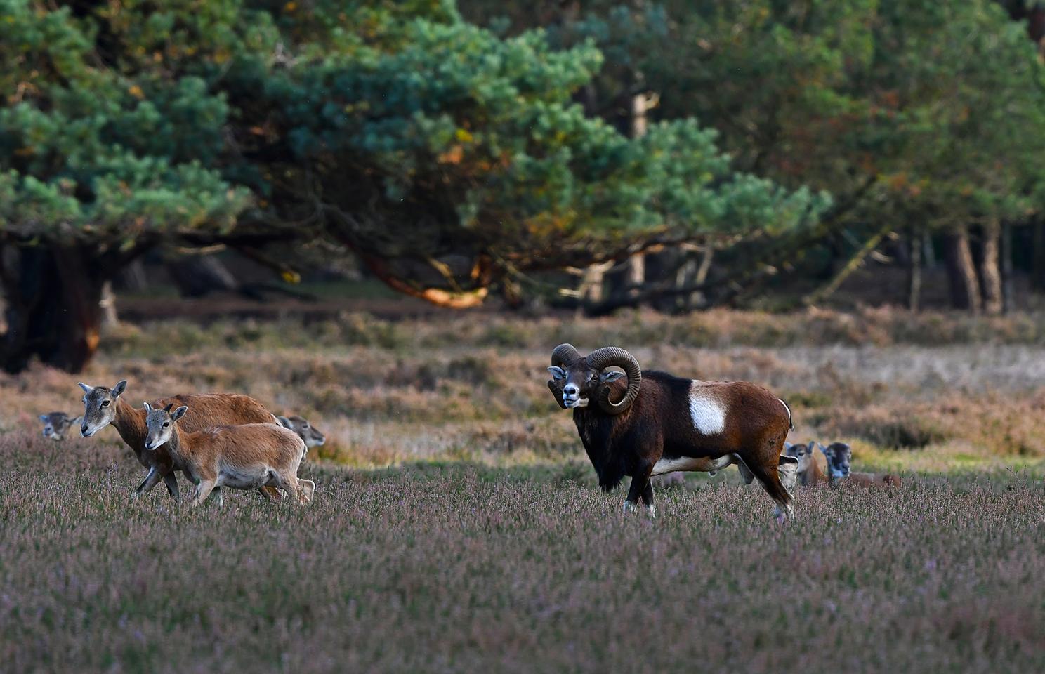 Voor hem loopt een ooi met haar lam, waarvan hij de geur op had gevangen – Foto: ©Louis Fraanje