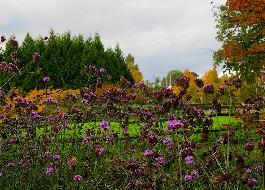 Sierlijk paars op stelten zijn de prachtige bloemen op lange stengels van de Verbena - Foto: ©Fransien Fraanje