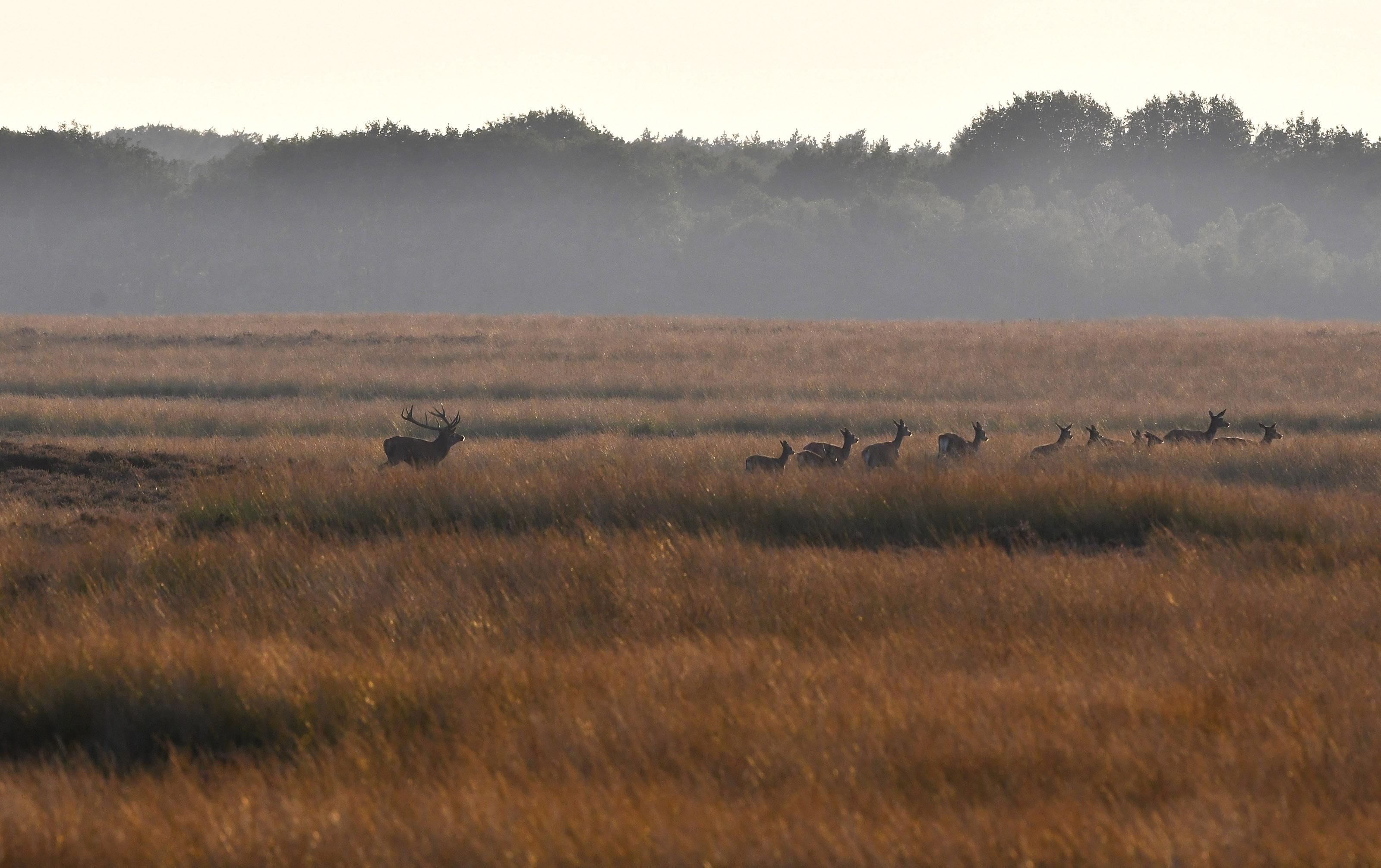 Het plaatshert drijft zijn bronstroedel voor zich uit over het open veld – Foto: ©Louis Fraanje