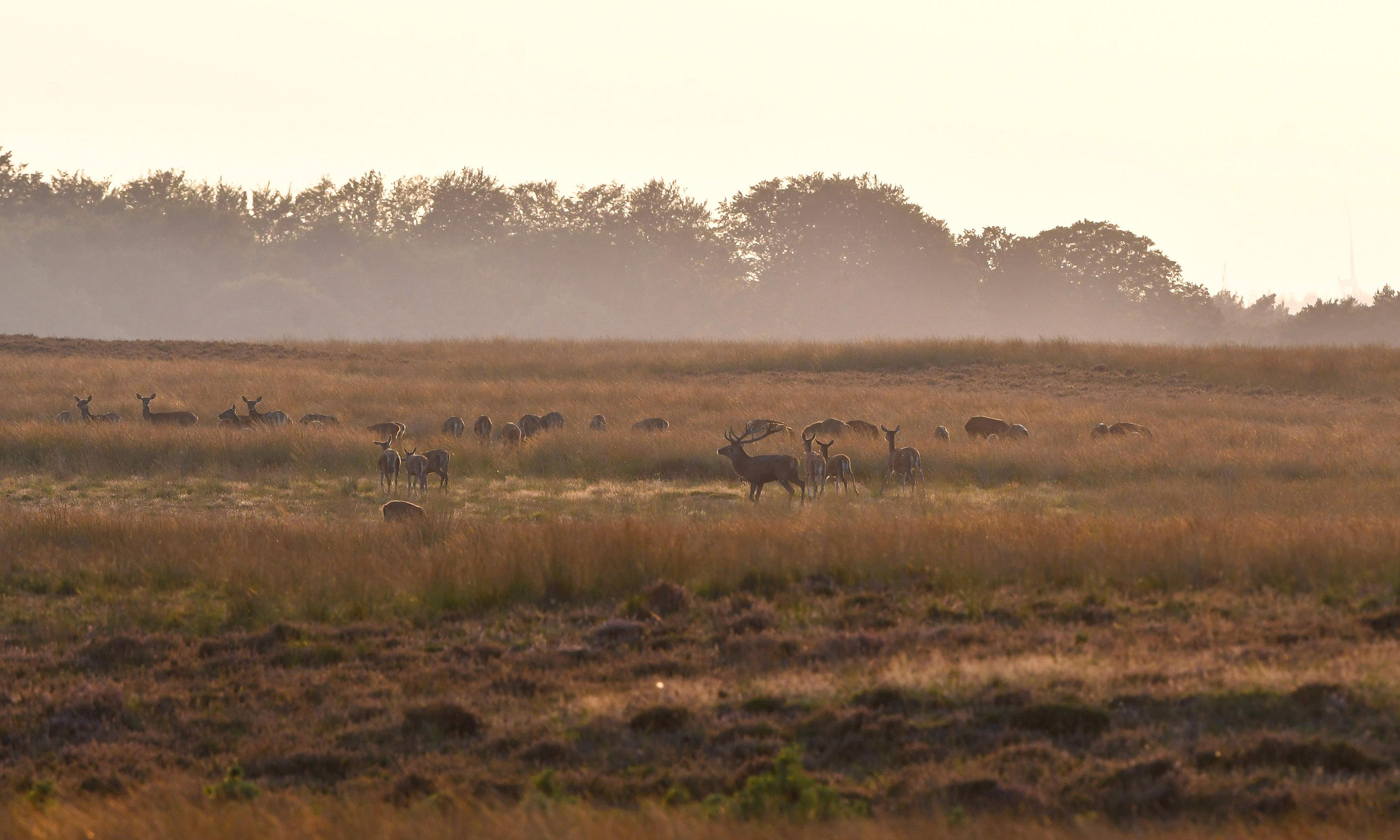 Het bronstgebeuren speelt zich ver weg bij ons vandaan in het open veld af – Foto: ©Louis Fraanje