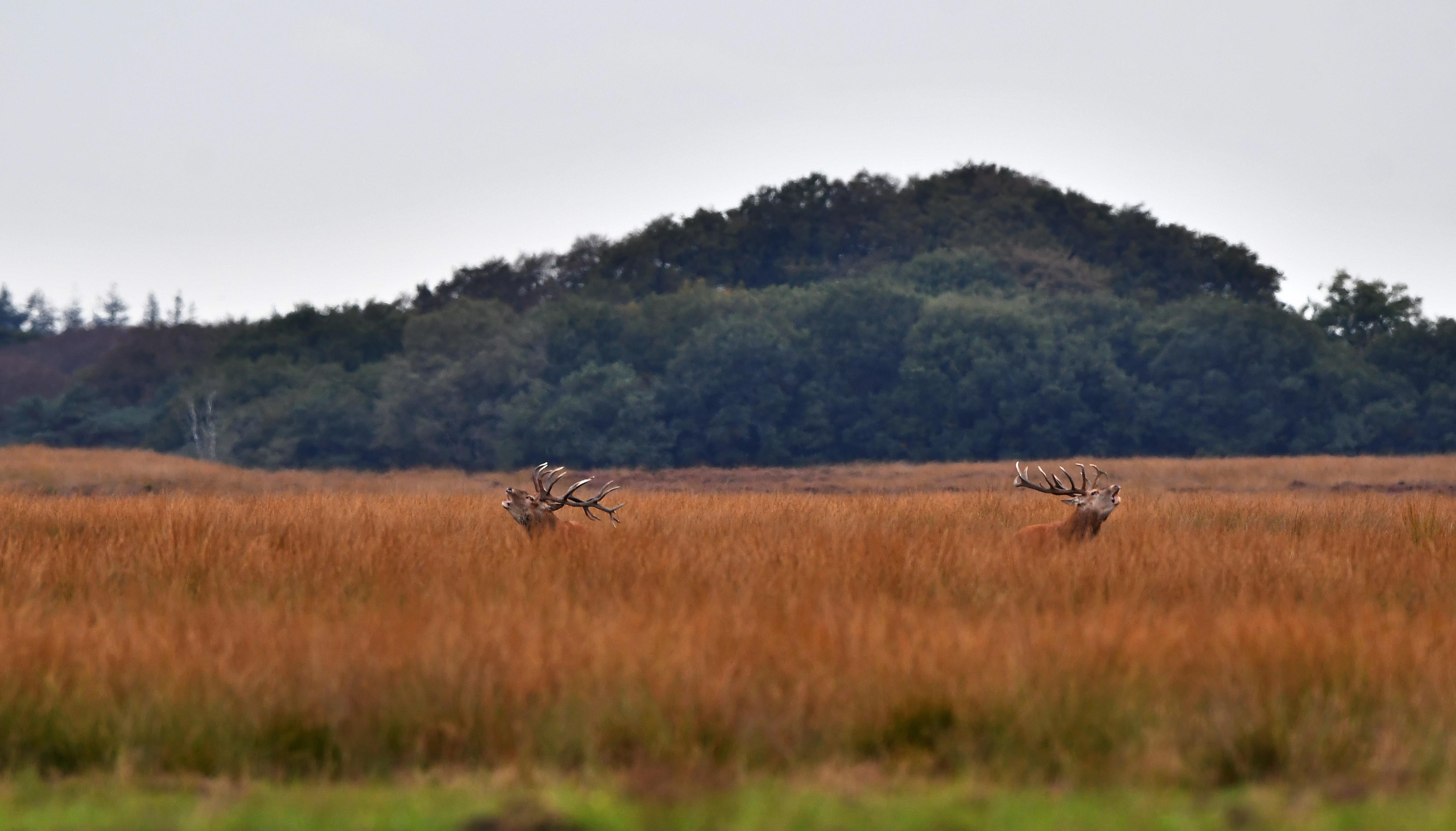 Midden op het Reemsterveld liepen twee grote jongens elkaar uit te dagen – Foto: ©Louis Fraanje