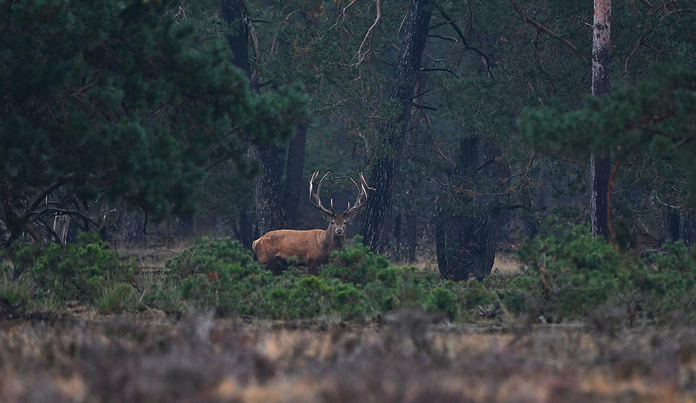 Even later ontdekken we het andere hert in de bosrand – Foto: ©Louis Fraanje