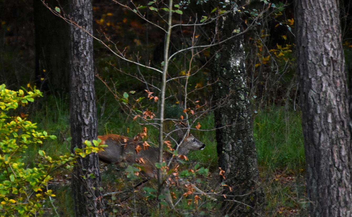 En verdwijnt hij in het struikgewas - Foto: ©Louis Fraanje