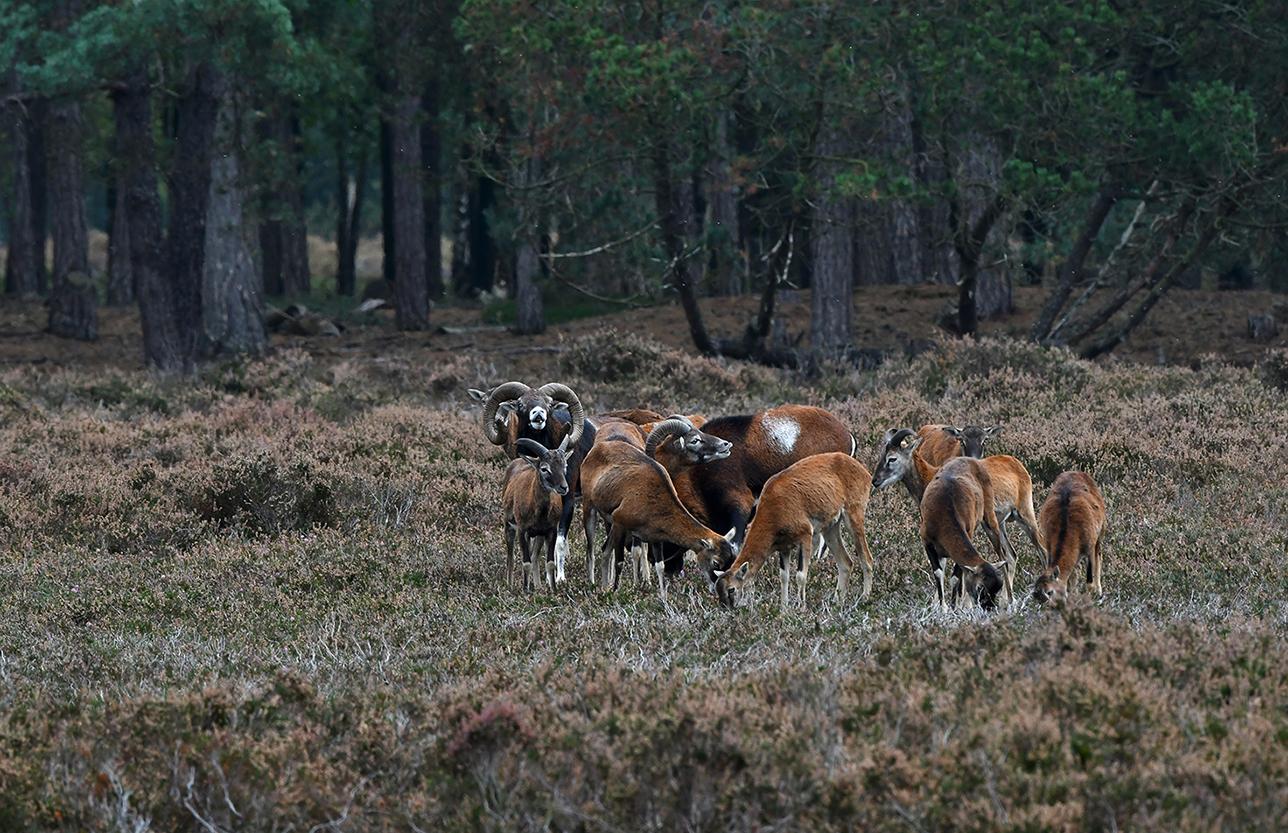 Ook de jongere moeflonrammen blijven op hun manier meedoen met het spel – Foto: ©Louis Fraanje
