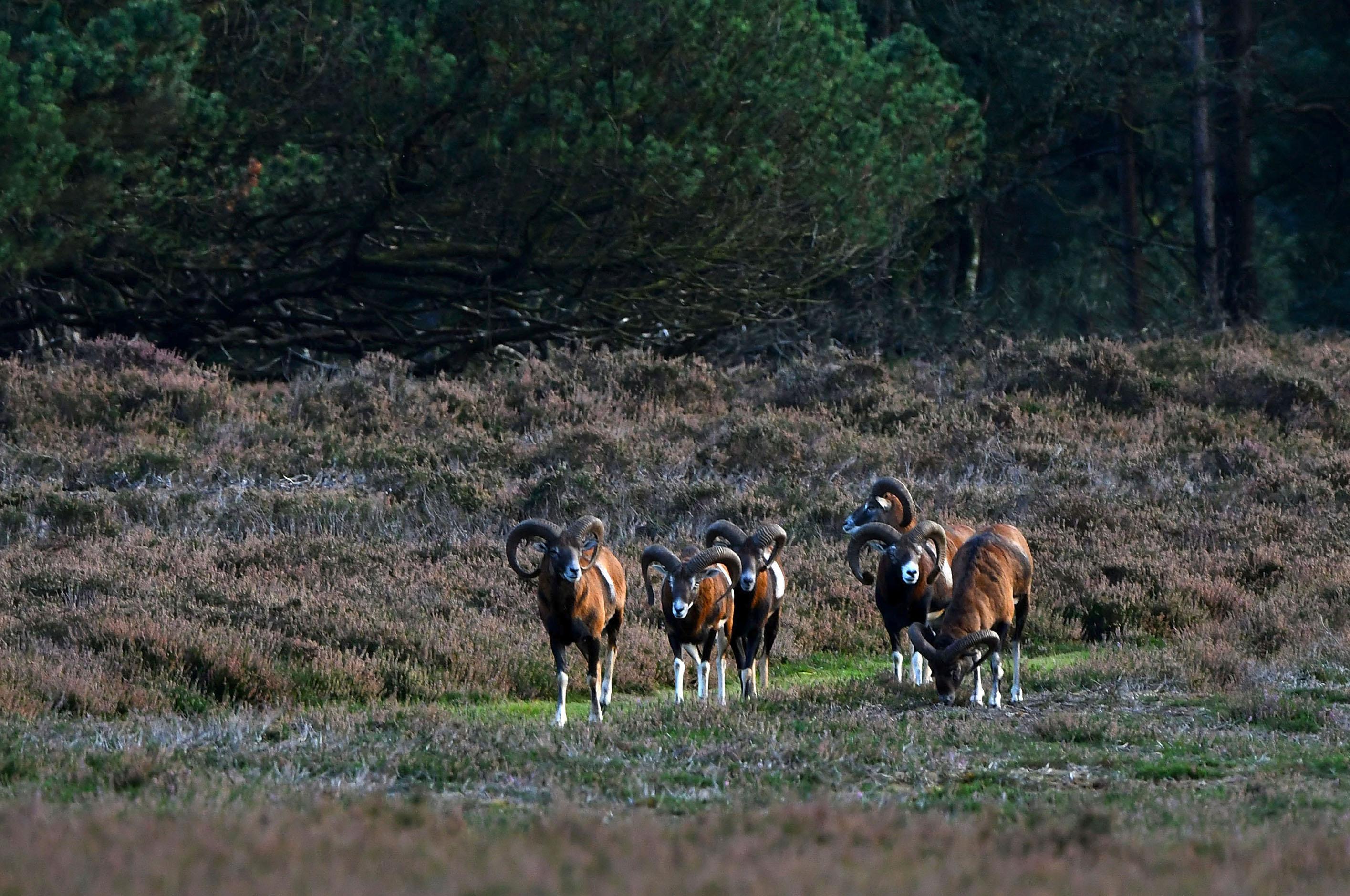Heel op hun gemakje komen ze onze kant oplopen – Foto: ©Louis Fraanje