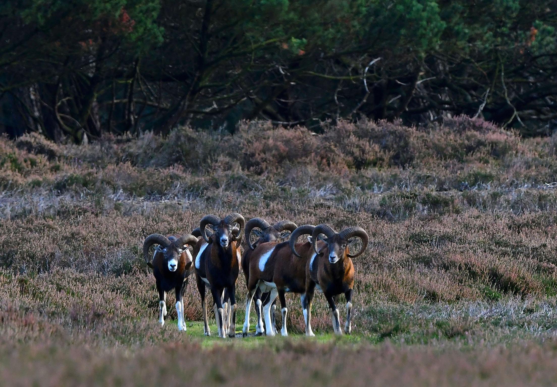Op een gegeven ogenblik blijven ze staan, zouden ze onraad ruiken? – Foto: ©Louis Fraanje