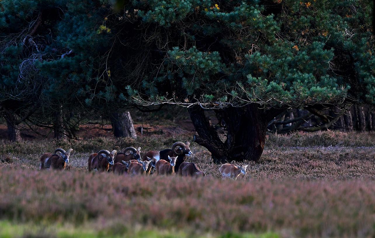 Opzij van de kleine kudde loopt een wat oudere moeflonram – Foto: ©Louis Fraanje