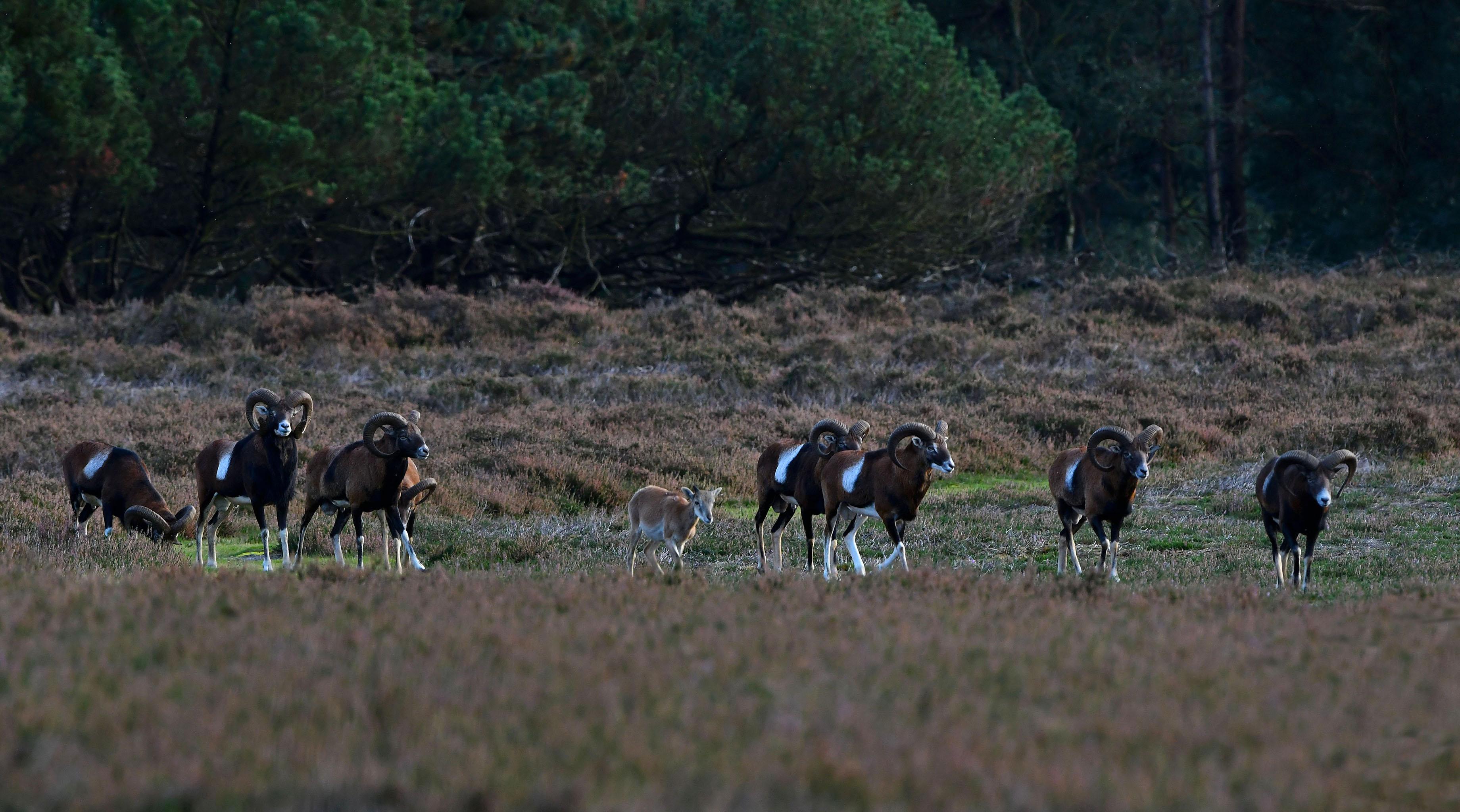 Tussen de oudere moeflonrammen loopt ook een heel jong dier – Foto: ©Louis Fraanje