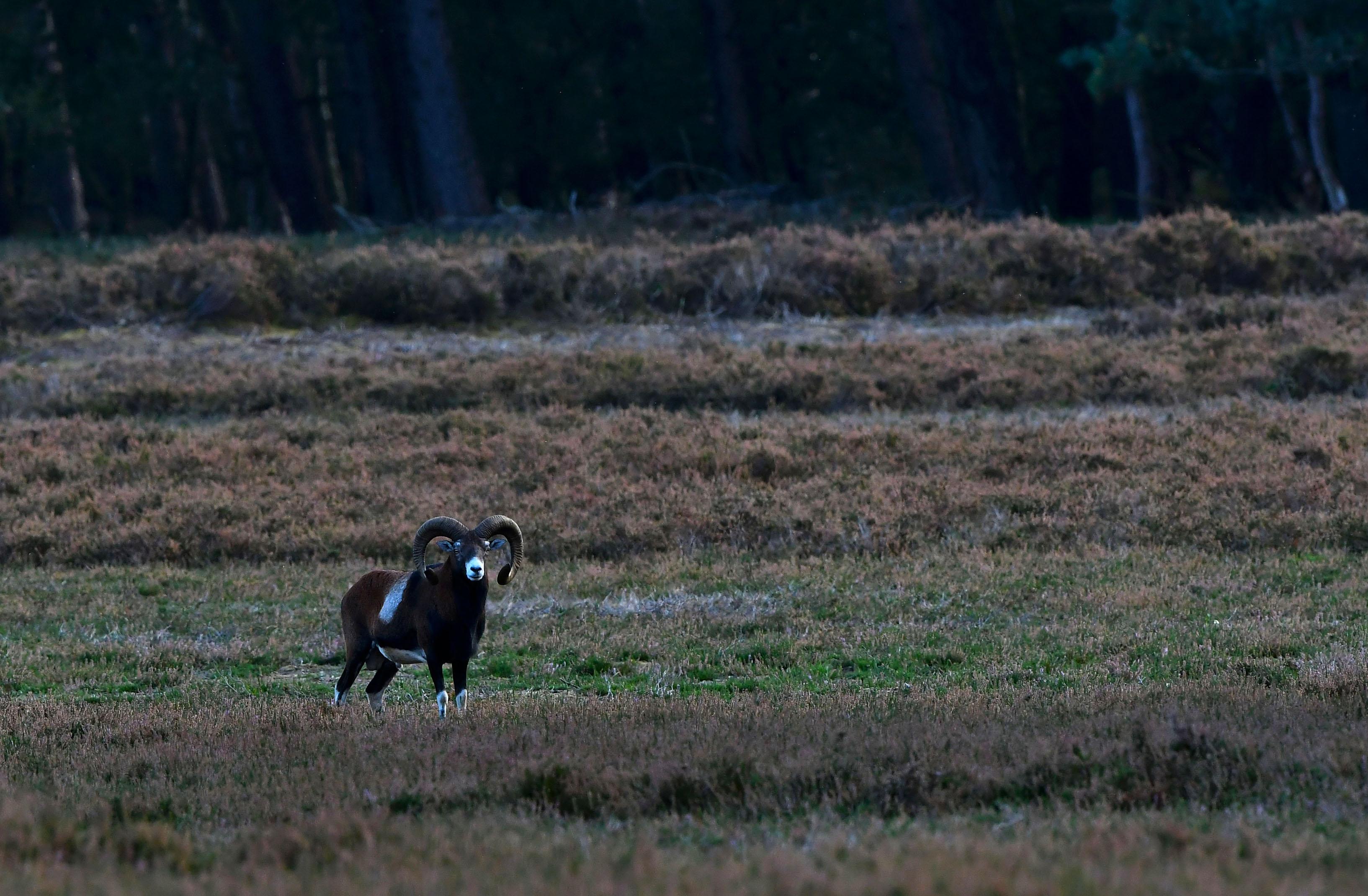 In het open veld ontdekken we een prachtige oude moeflonram – Foto: ©Louis Fraanje
