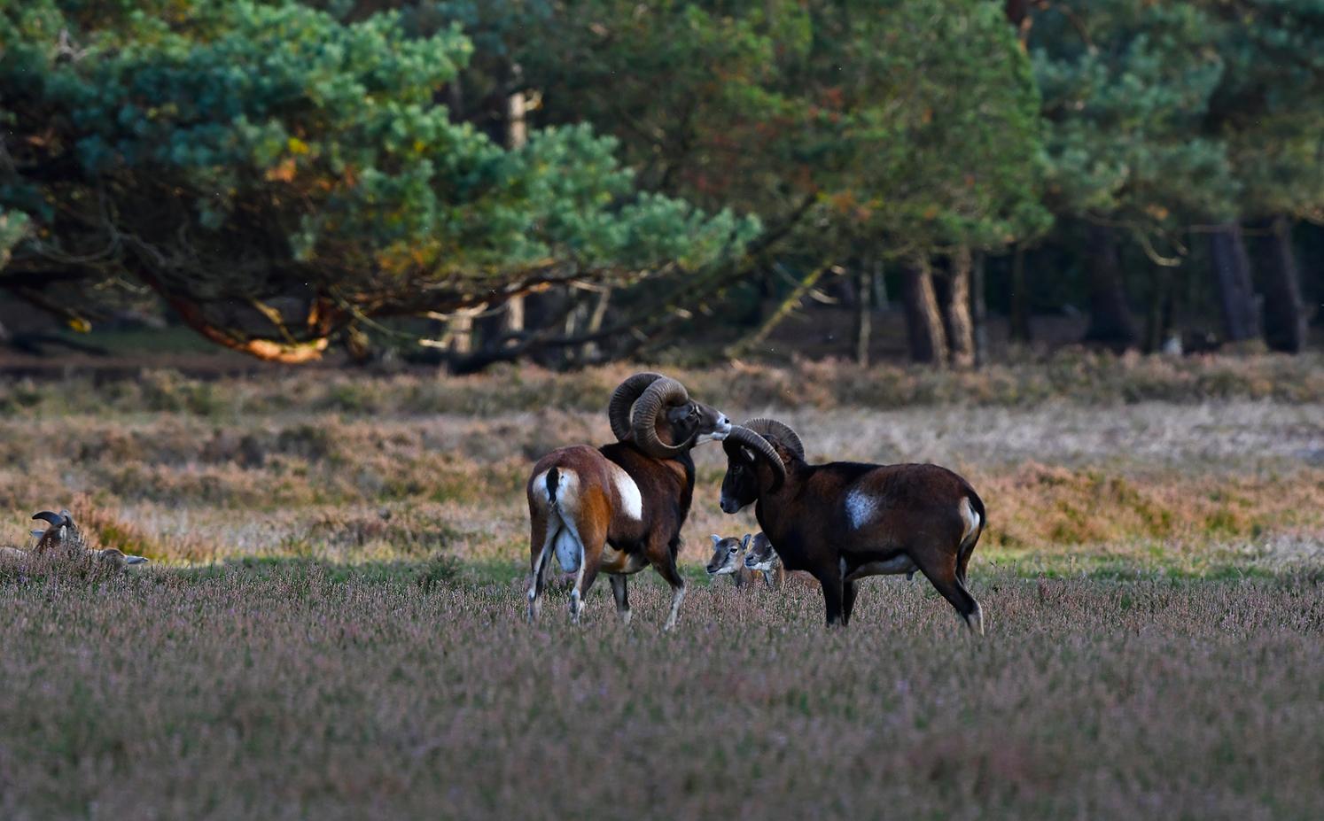 Blijkbaar durven... of willen ze de strijd nog niet aanbinden met elkaar – Foto: ©Louis Fraanje