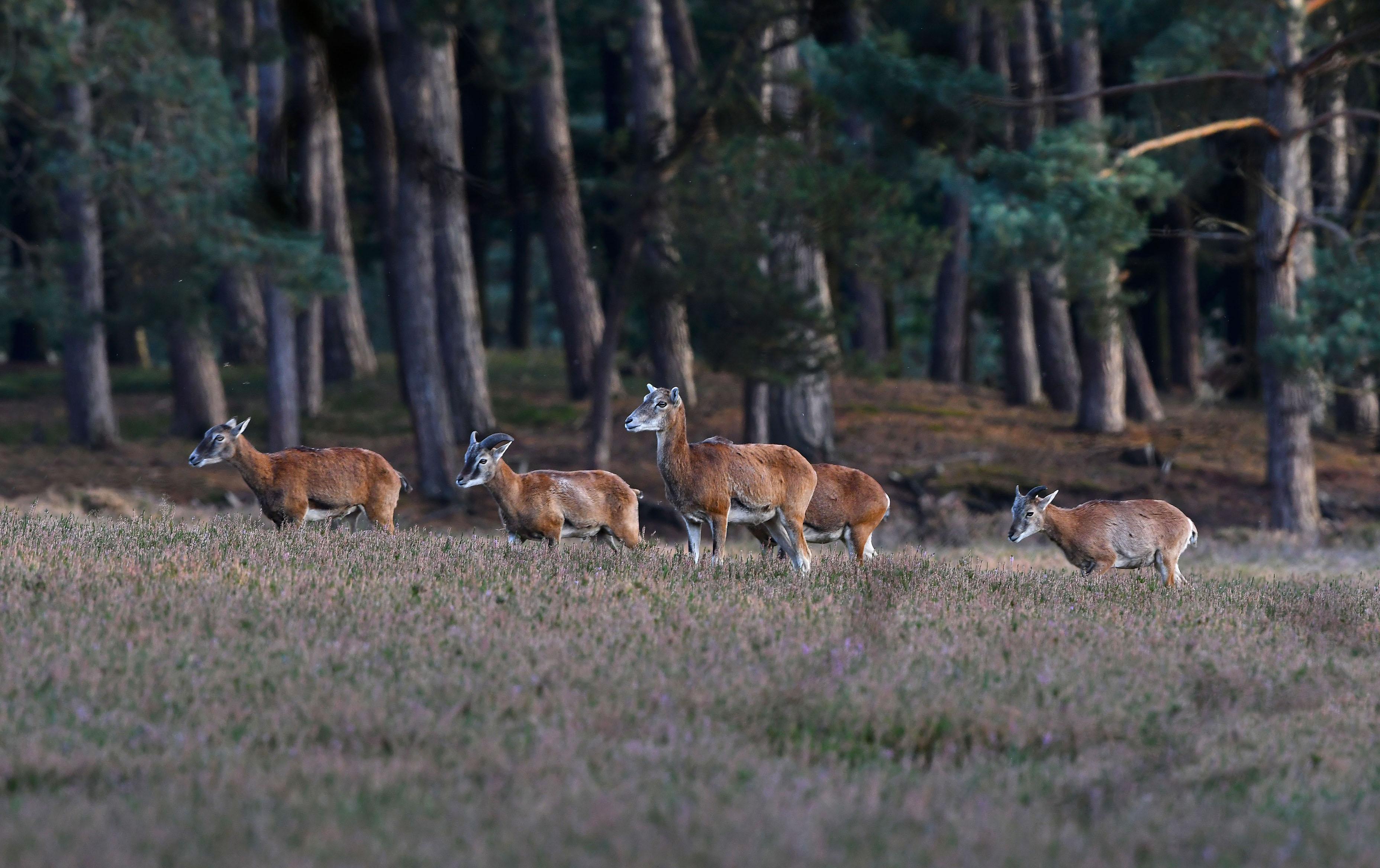 De ooien en lammeren staan op afstand de boel in de aten te houden – Foto: ©Louis Fraanje