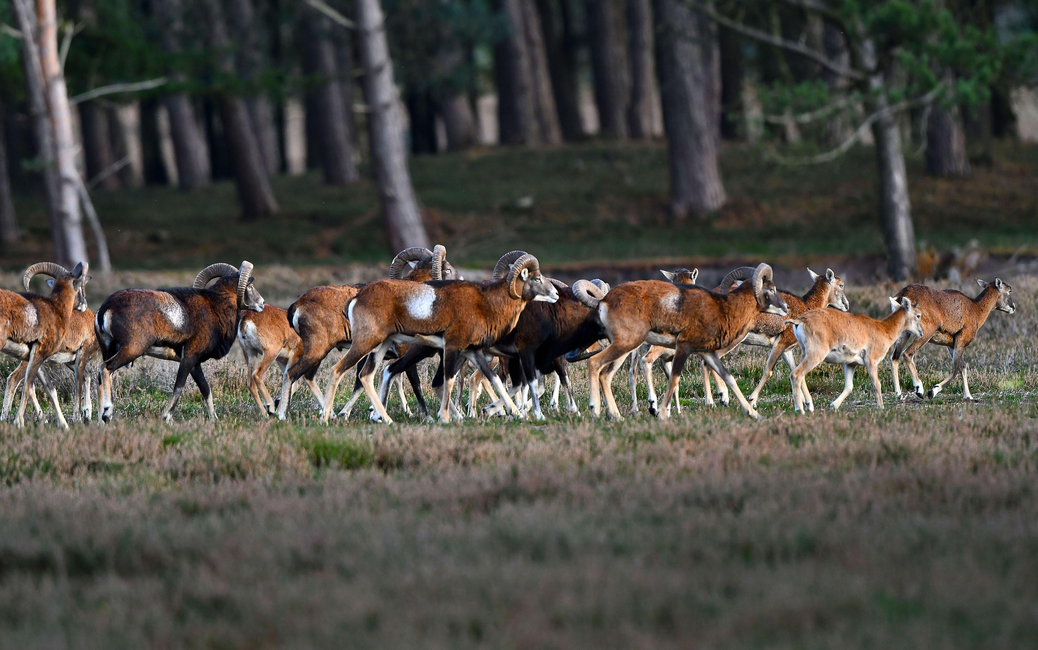 Dan ineens... gaat de hele kudde aan de wandel – Foto: ©Louis Fraanje