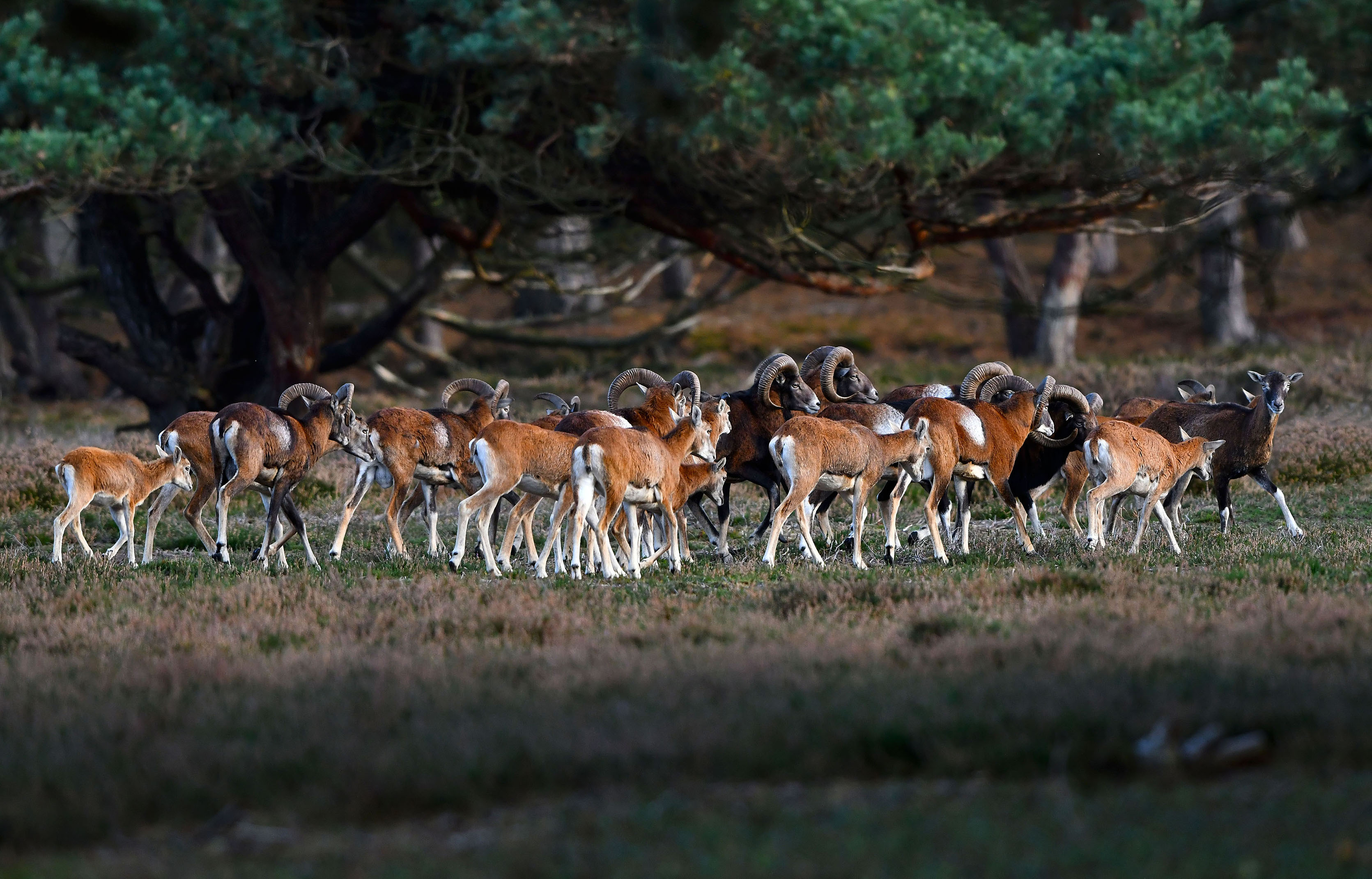 Ondanks het gedoe met de rammen, gaat de kudde onverstoorbaar hun weg – Foto: ©Louis Fraanje