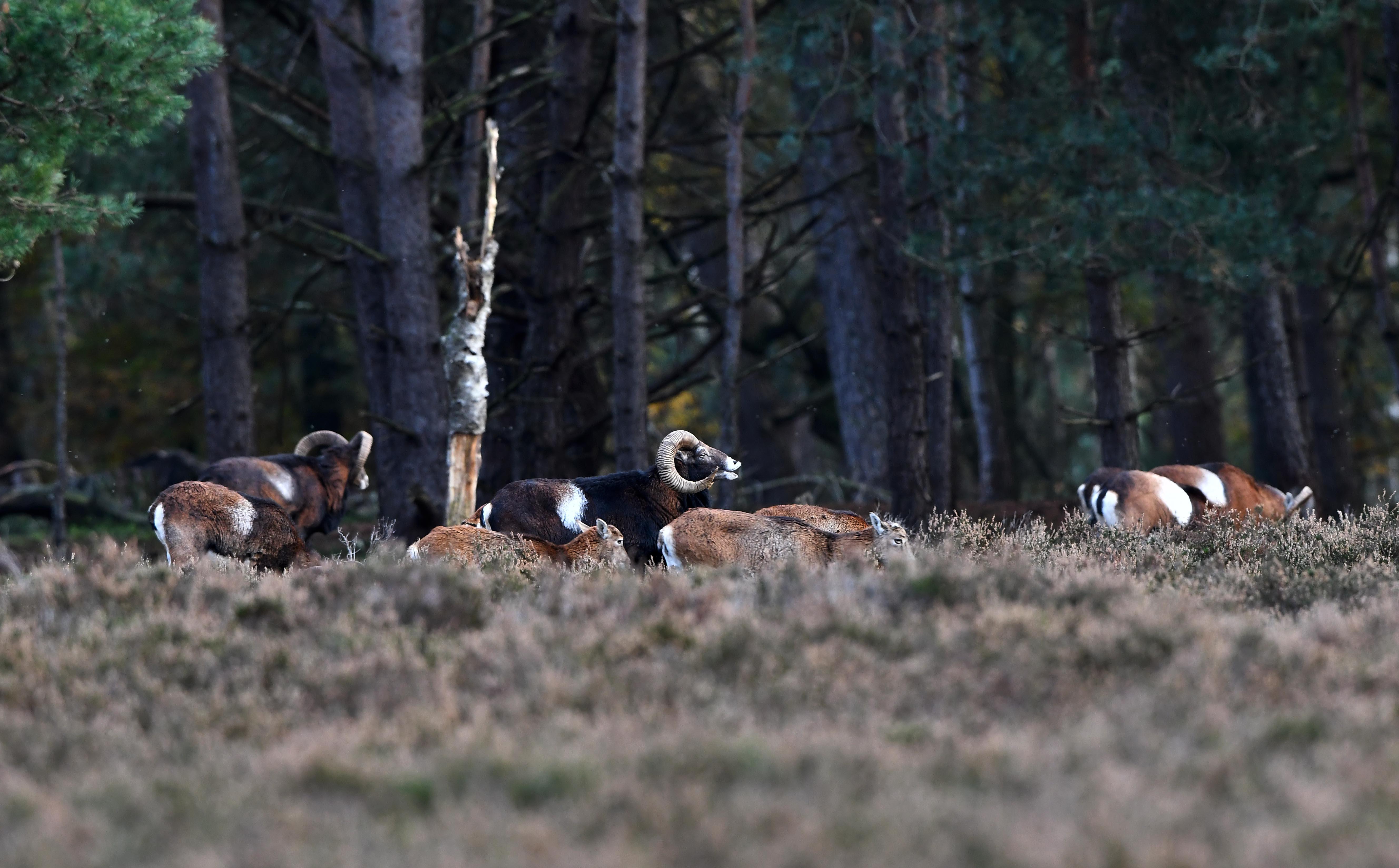 Een 'flemende' moeflonram met zijn harem en concurrentie aan de bosrand– Foto: ©Louis Fraanje