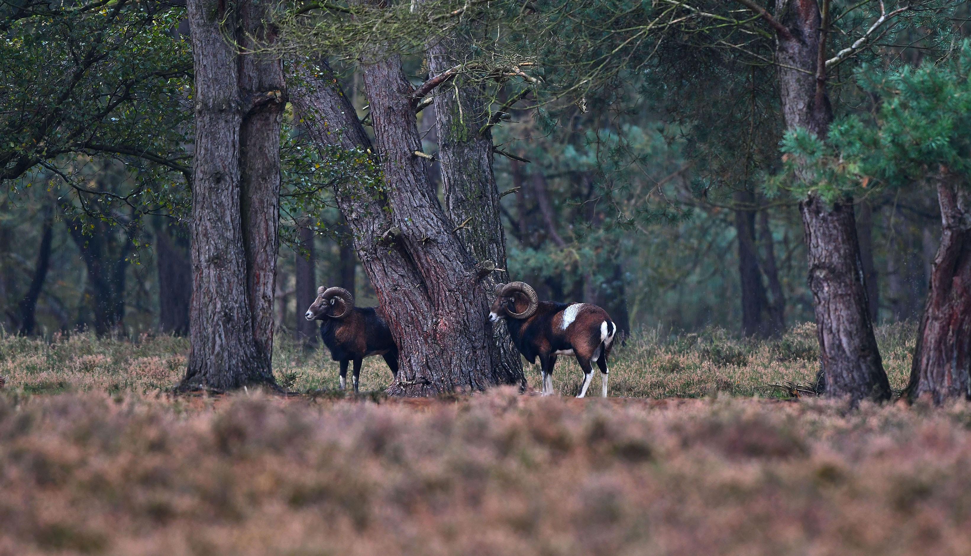 Een tijdlang staan ze allebei op hun gemakje naar de overkant van het veld te koekeloeren – Foto: ©Louis Fraanje