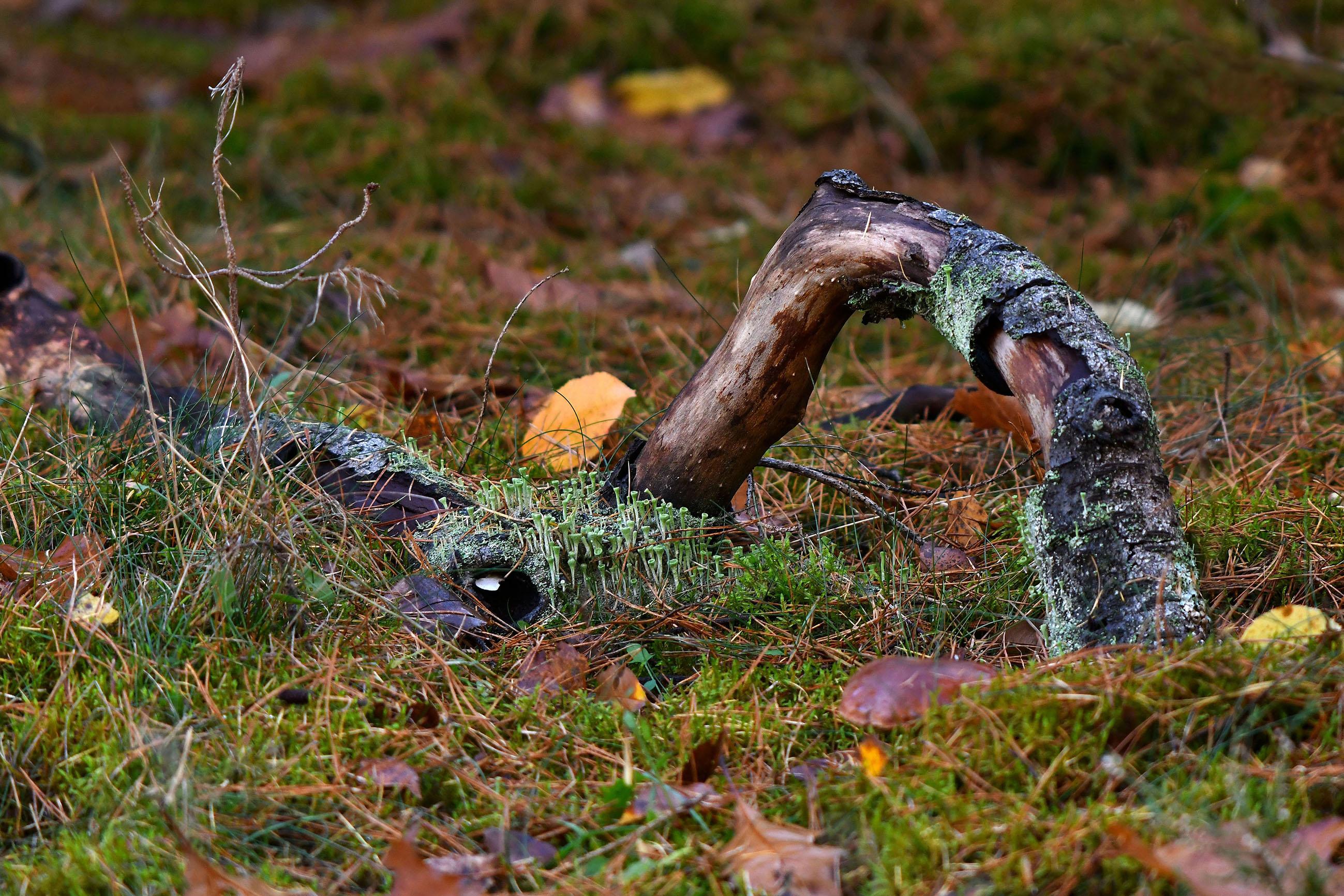 Het bekertjesmos vormt samen met deze kromme boomtak een waar kunstwerk - Foto: ©Louis Fraanje
