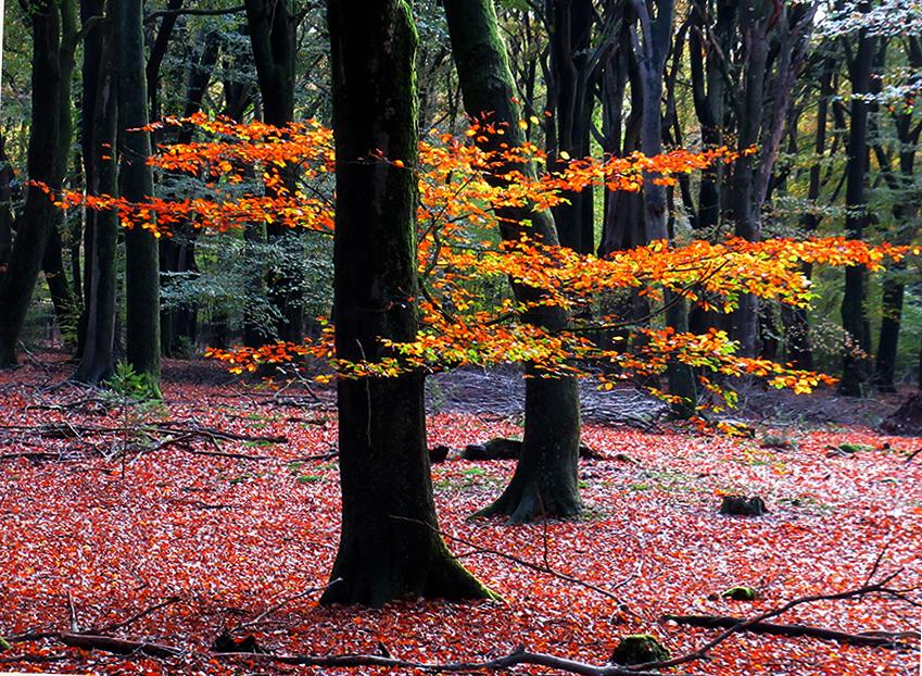Een kleurrijk herfst-tafereel zomaar ergens onderaan een beukenboom - Foto: ©Louis Fraanje