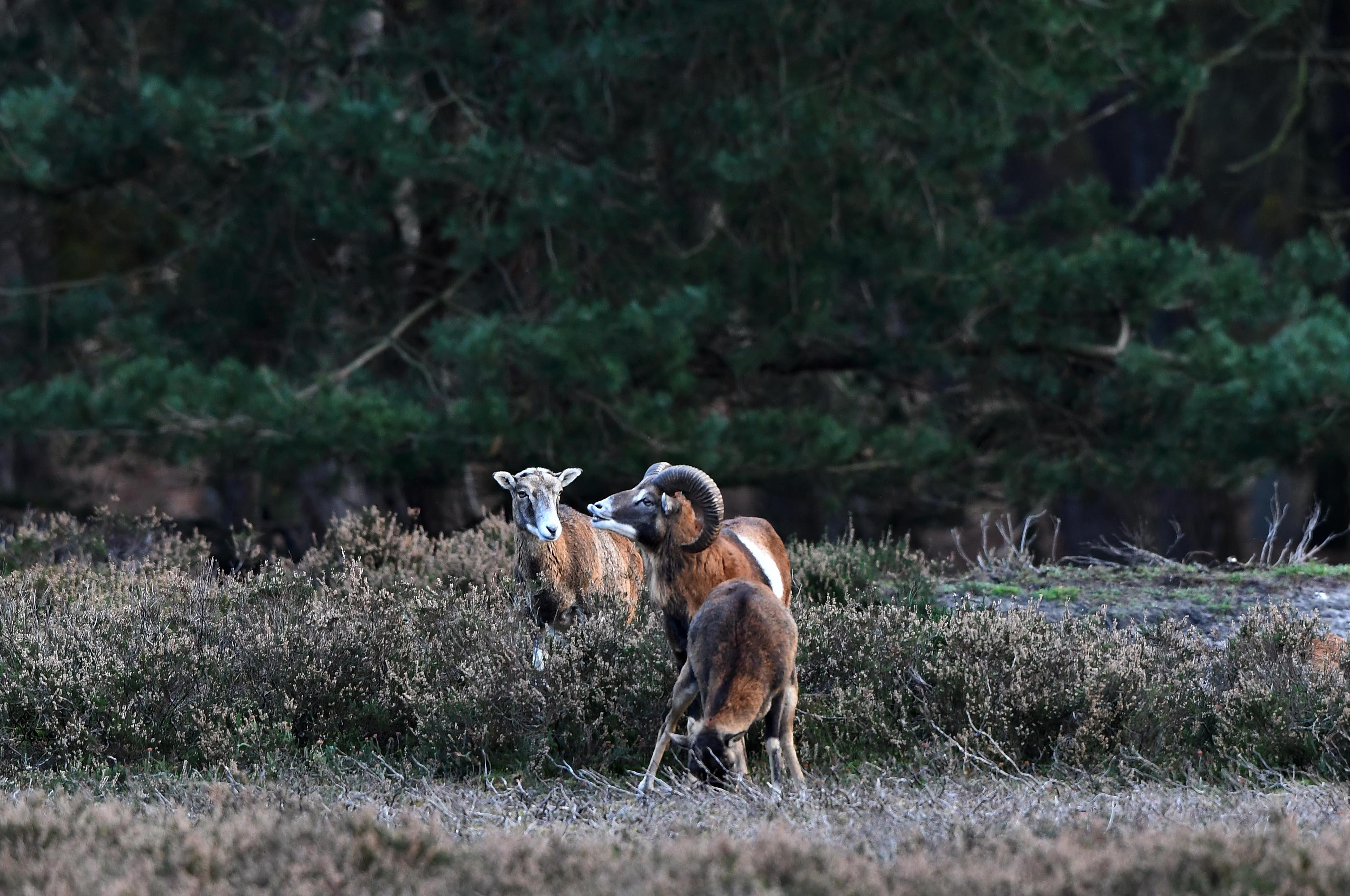 Het 'flemen' blijft een grappig gezicht, zelfs de ooi lijkt dat ook zo te vinden – Foto: ©Louis Fraanje