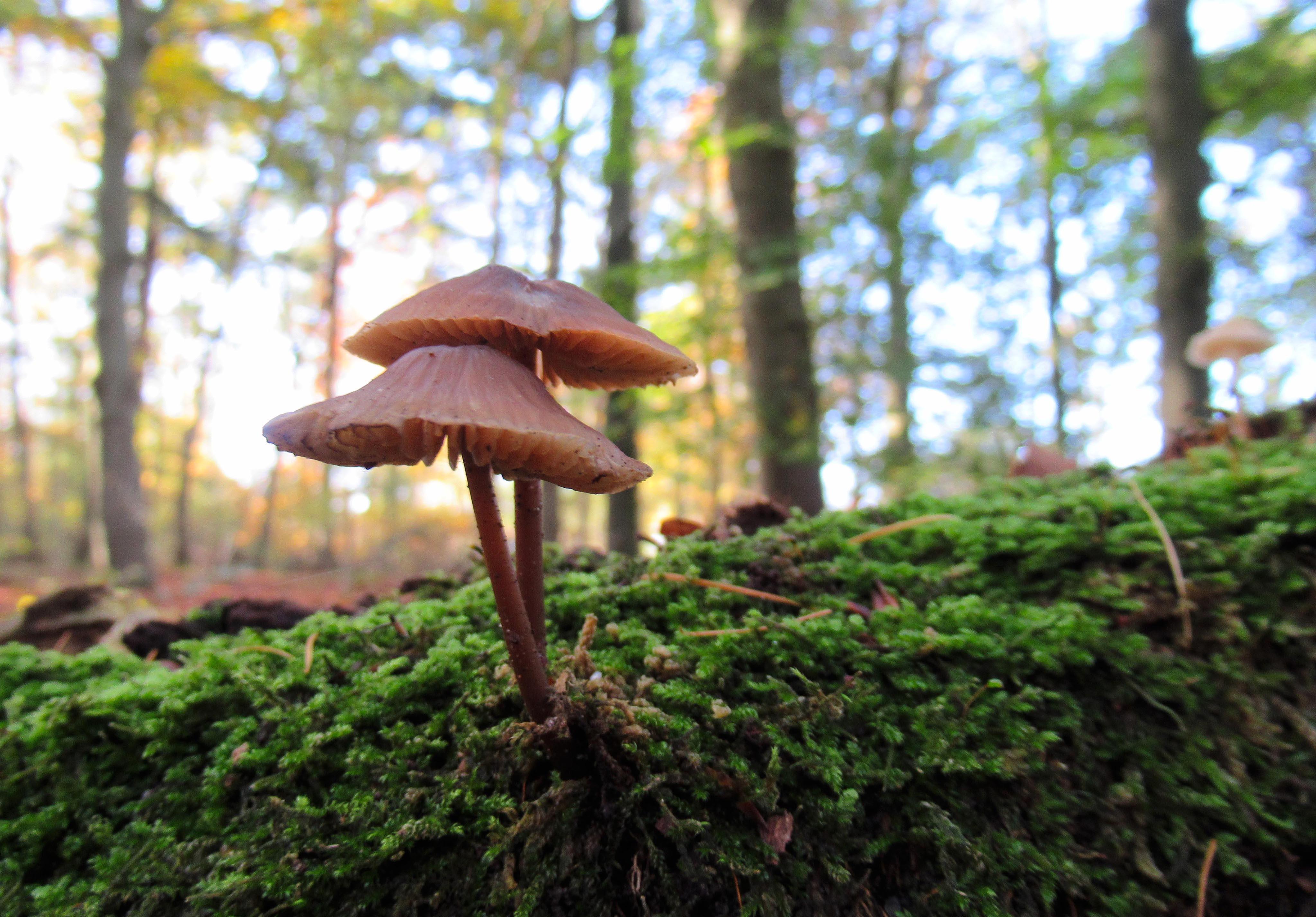 Een dubbele hoed met op de achtergrond het herfstbos - Foto: ©Louis Fraanje