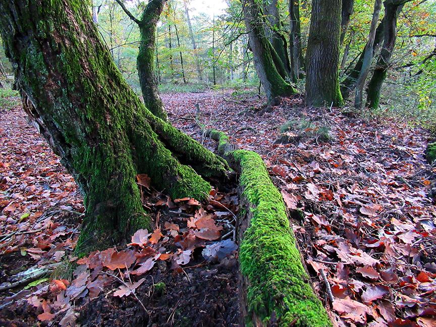 Schots en scheef staan deze kromme op een oude wal in het bos - Foto: ©Fransien Fraanje