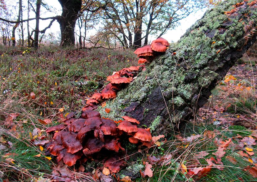 Sommige paddenstoelen kruipen als het ware tegen de boomstam omhoog - Foto: ©Fransien Fraanje