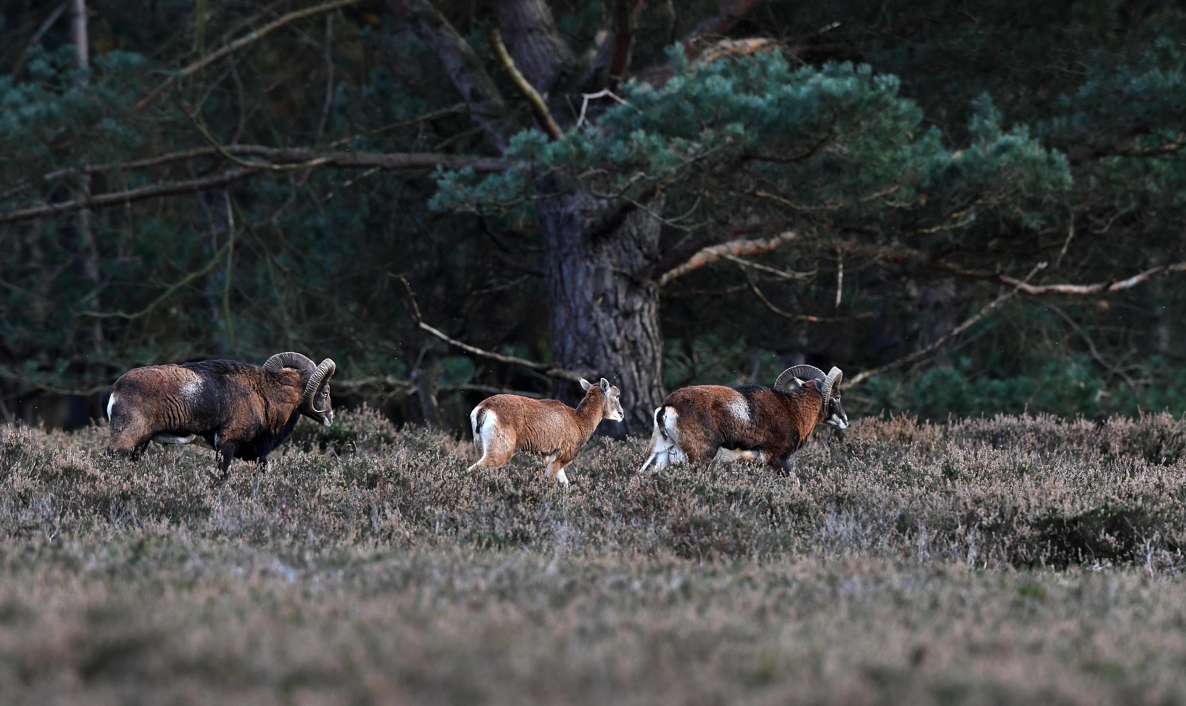 Een ooi loopt tussen twee moeflonrammen – Foto: ©Louis Fraanje