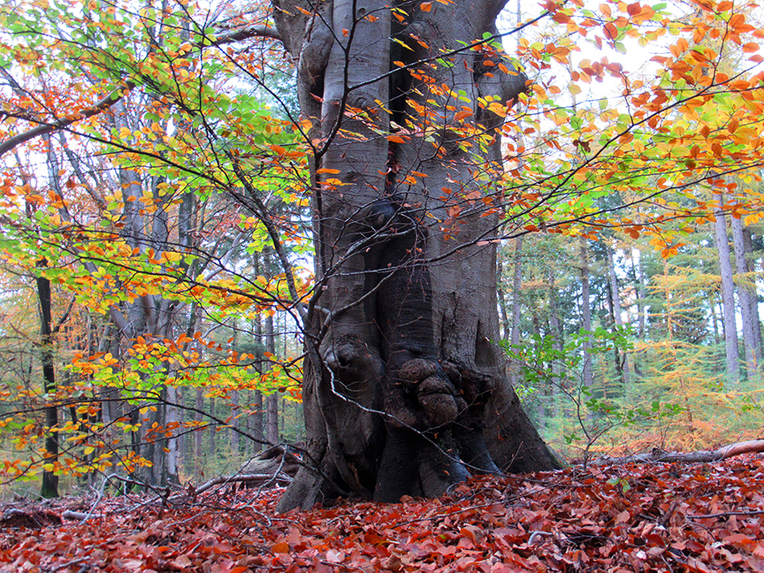 Wat een kleurrijk decor bij deze oude beukenboom - Foto: ©Louis Fraanje